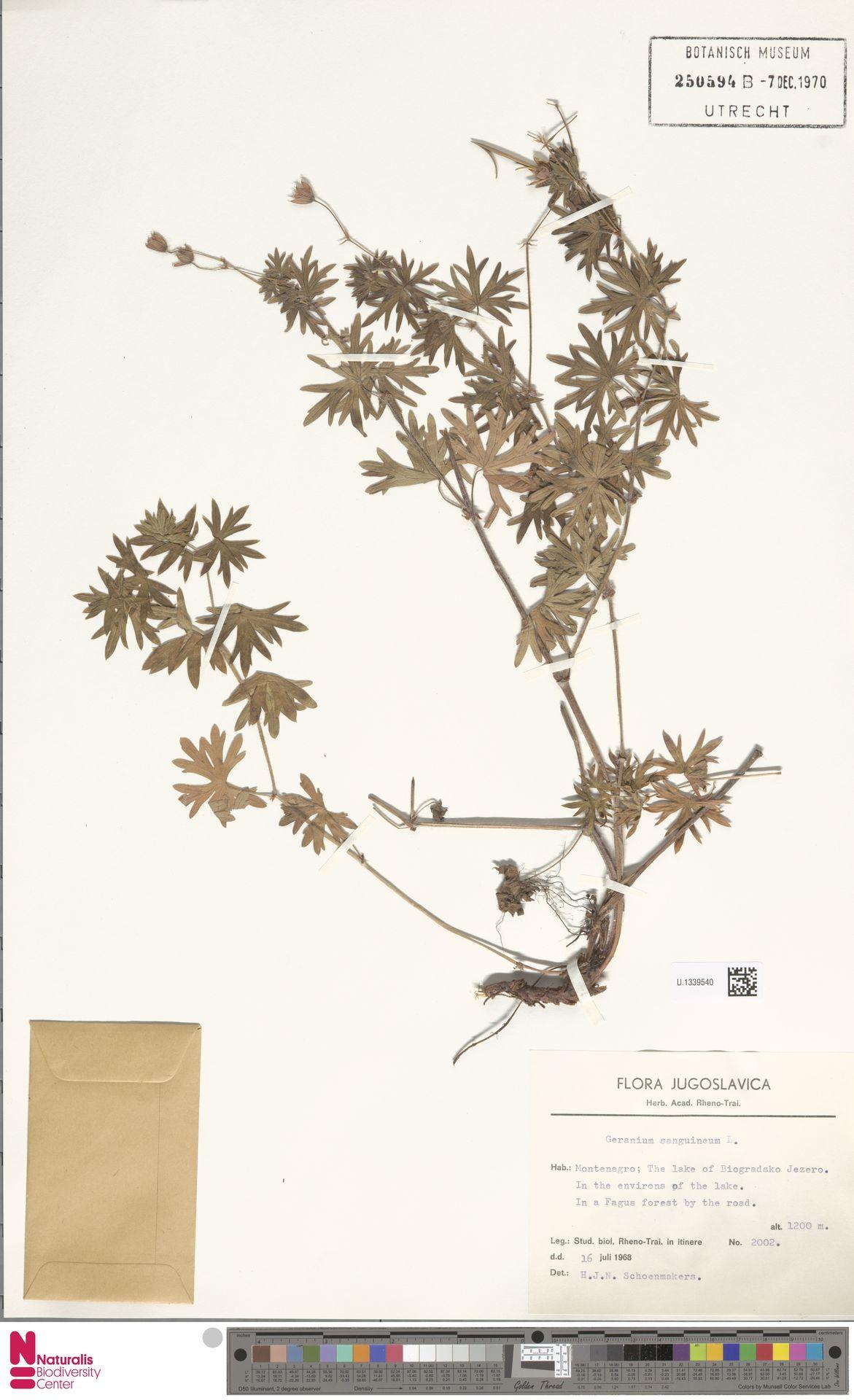 U.1339540 | Geranium sanguineum L.