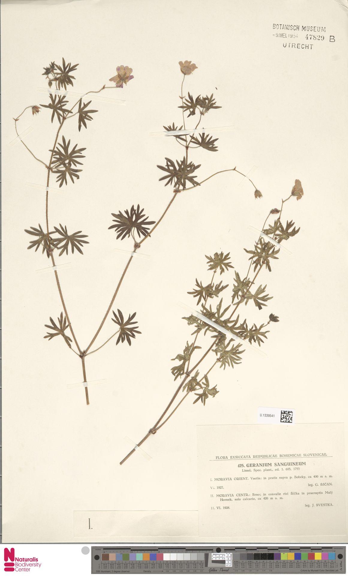 U.1339541 | Geranium sanguineum L.
