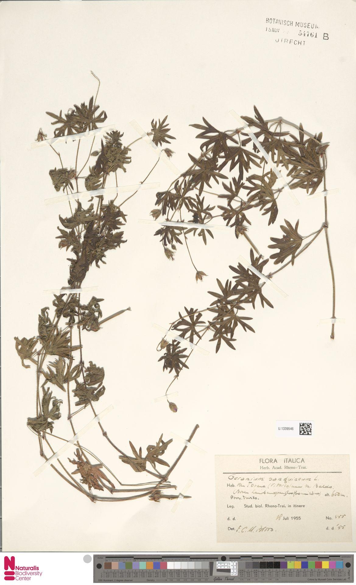 U.1339546 | Geranium sanguineum L.