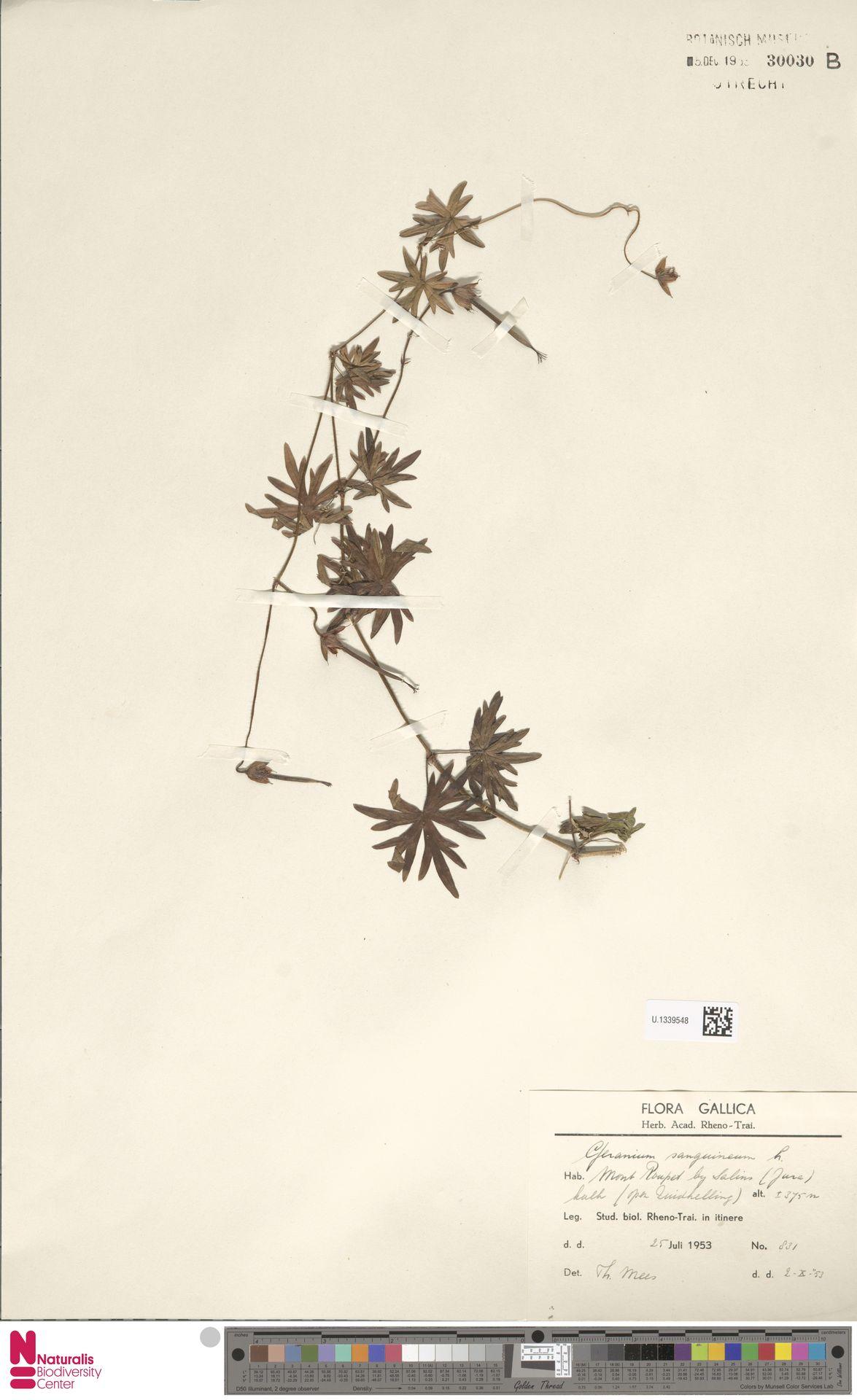 U.1339548 | Geranium sanguineum L.