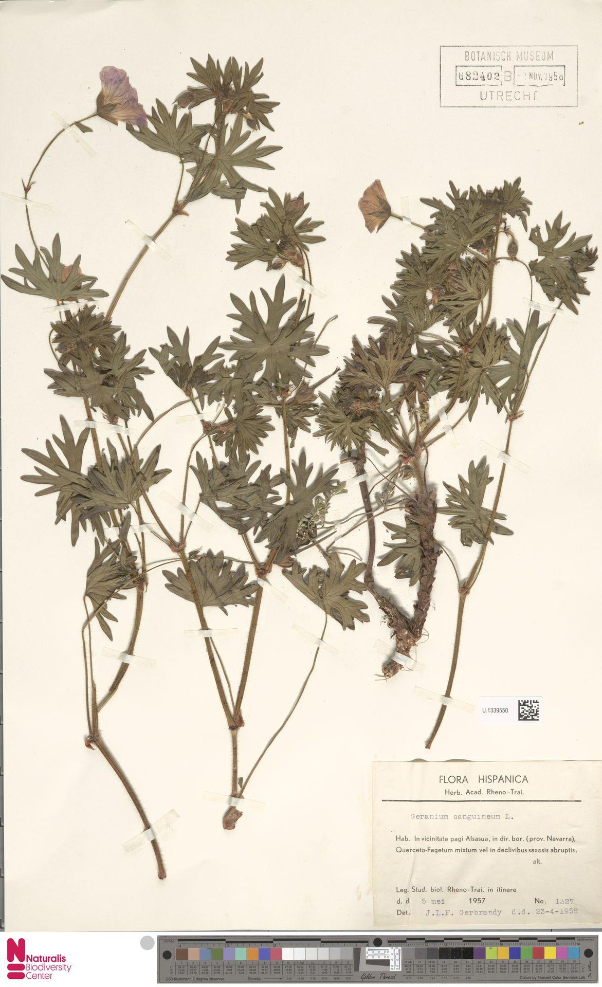 U.1339550 | Geranium sanguineum L.