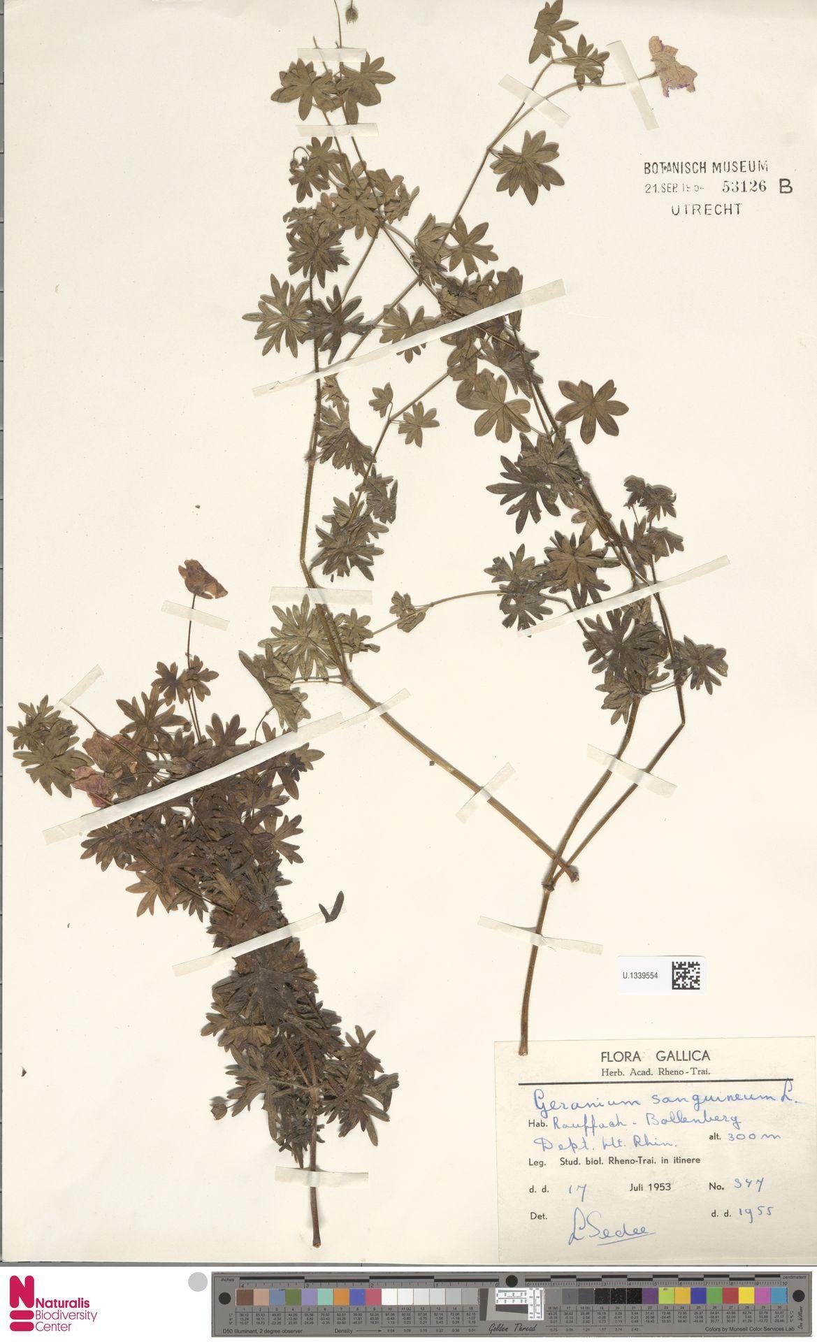 U.1339554 | Geranium sanguineum L.