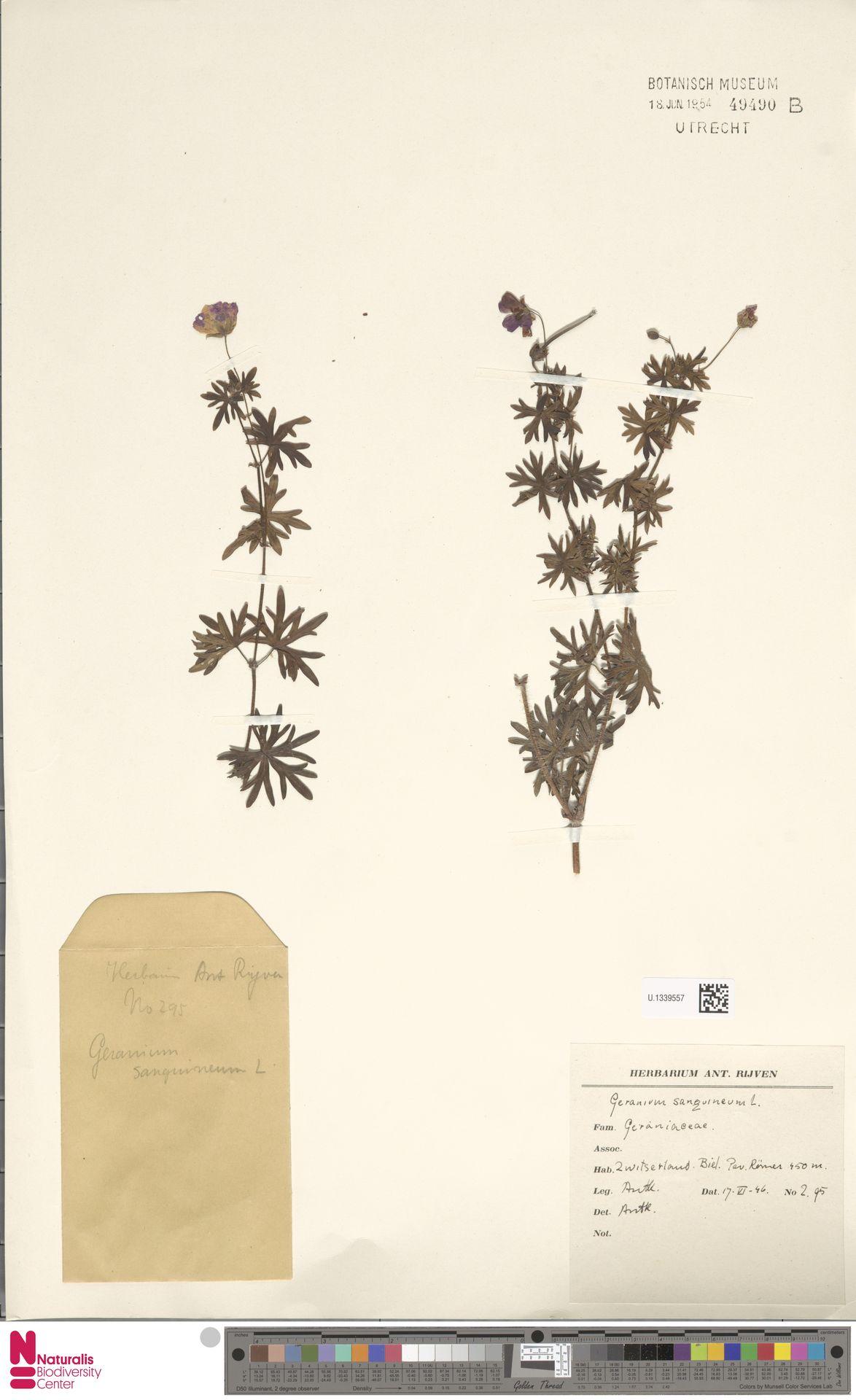U.1339557 | Geranium sanguineum L.