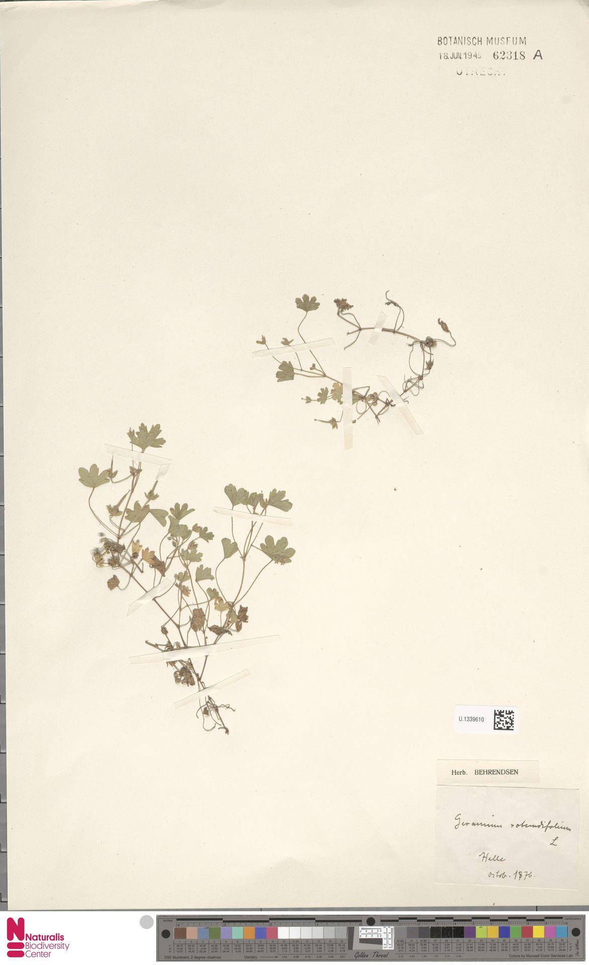 U.1339610 | Geranium rotundifolium L.