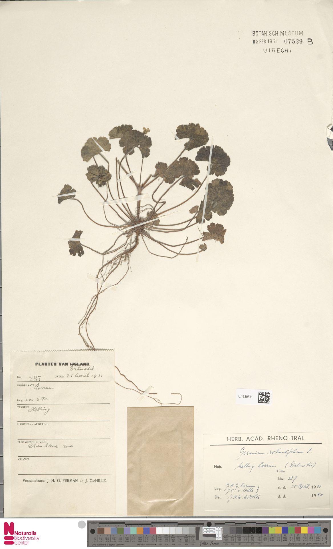 U.1339611 | Geranium rotundifolium L.