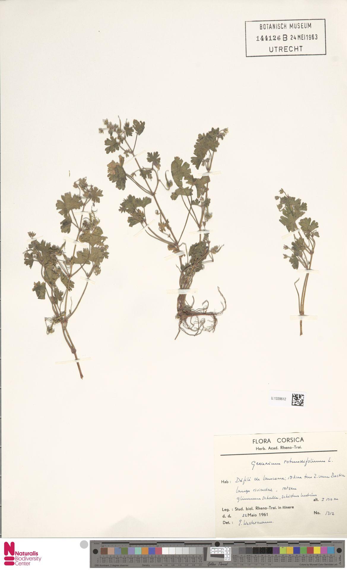 U.1339612 | Geranium rotundifolium L.