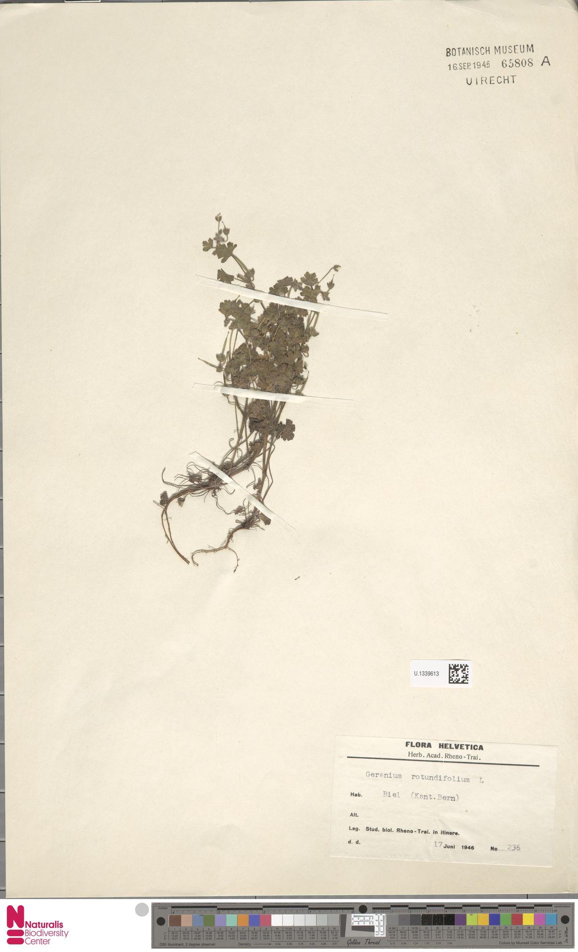 U.1339613 | Geranium rotundifolium L.