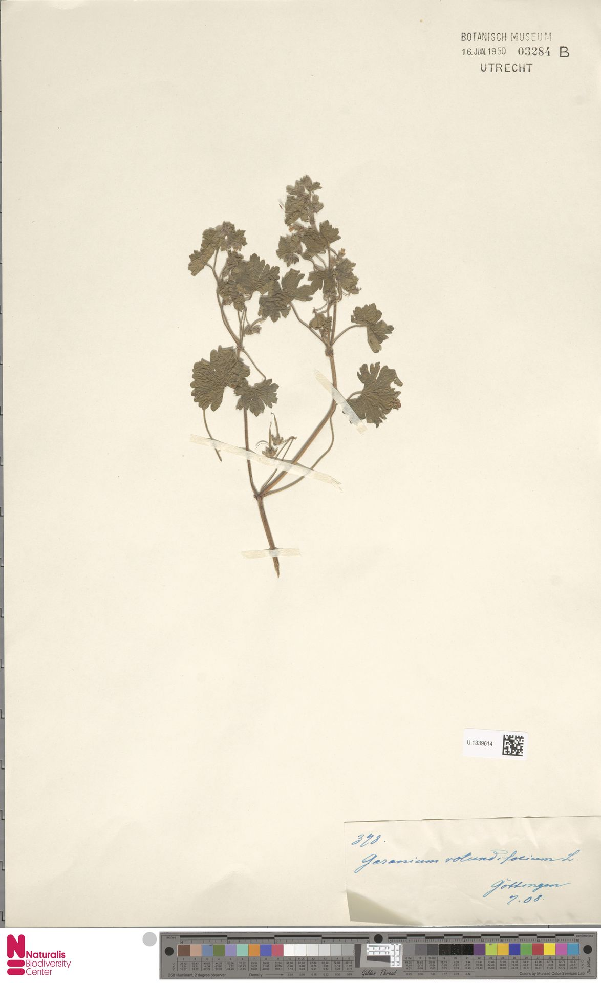 U.1339614 | Geranium rotundifolium L.