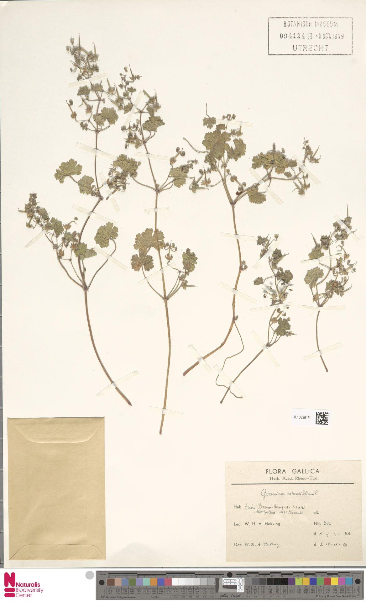 U.1339615 | Geranium rotundifolium L.