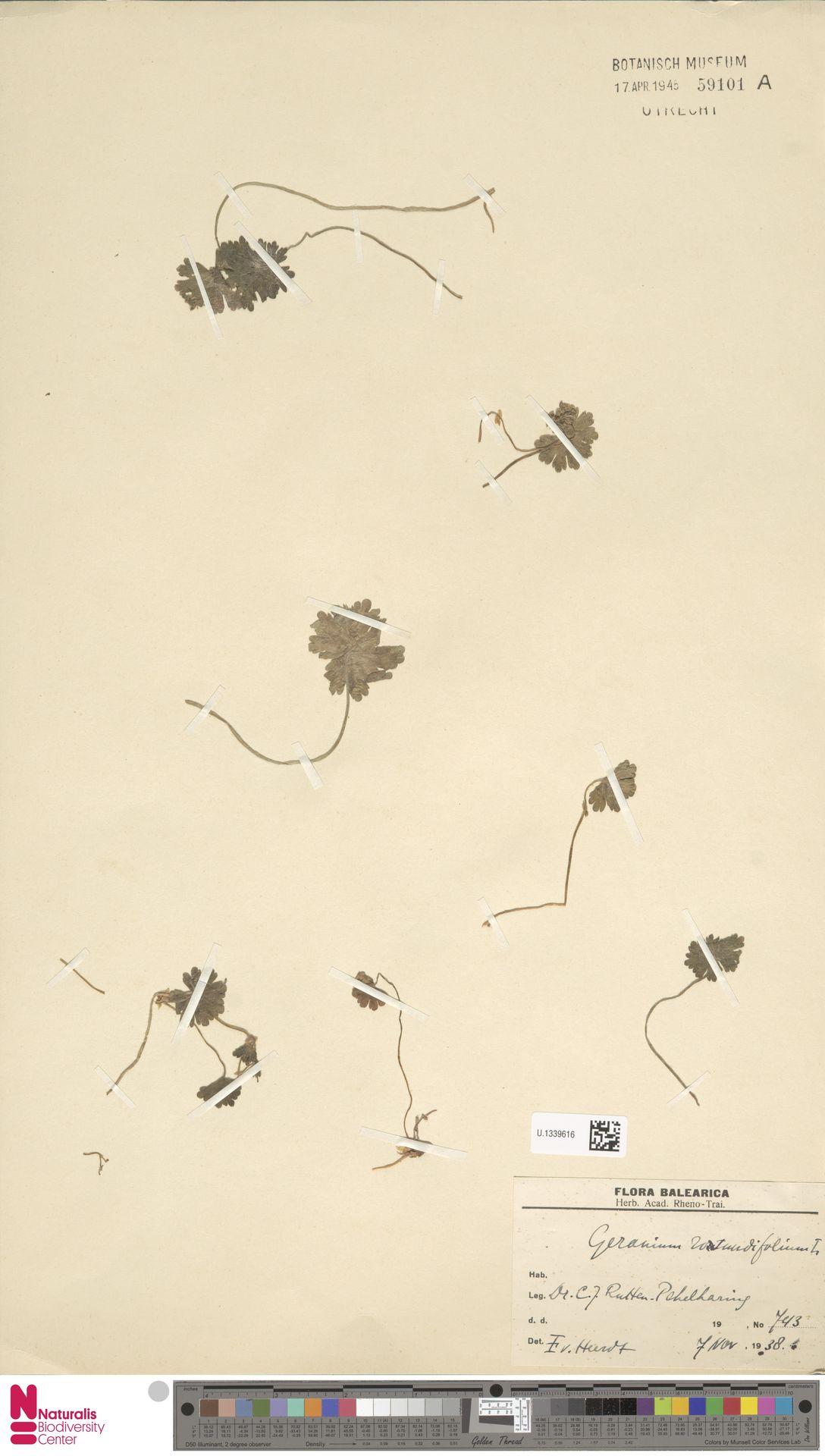 U.1339616 | Geranium rotundifolium L.