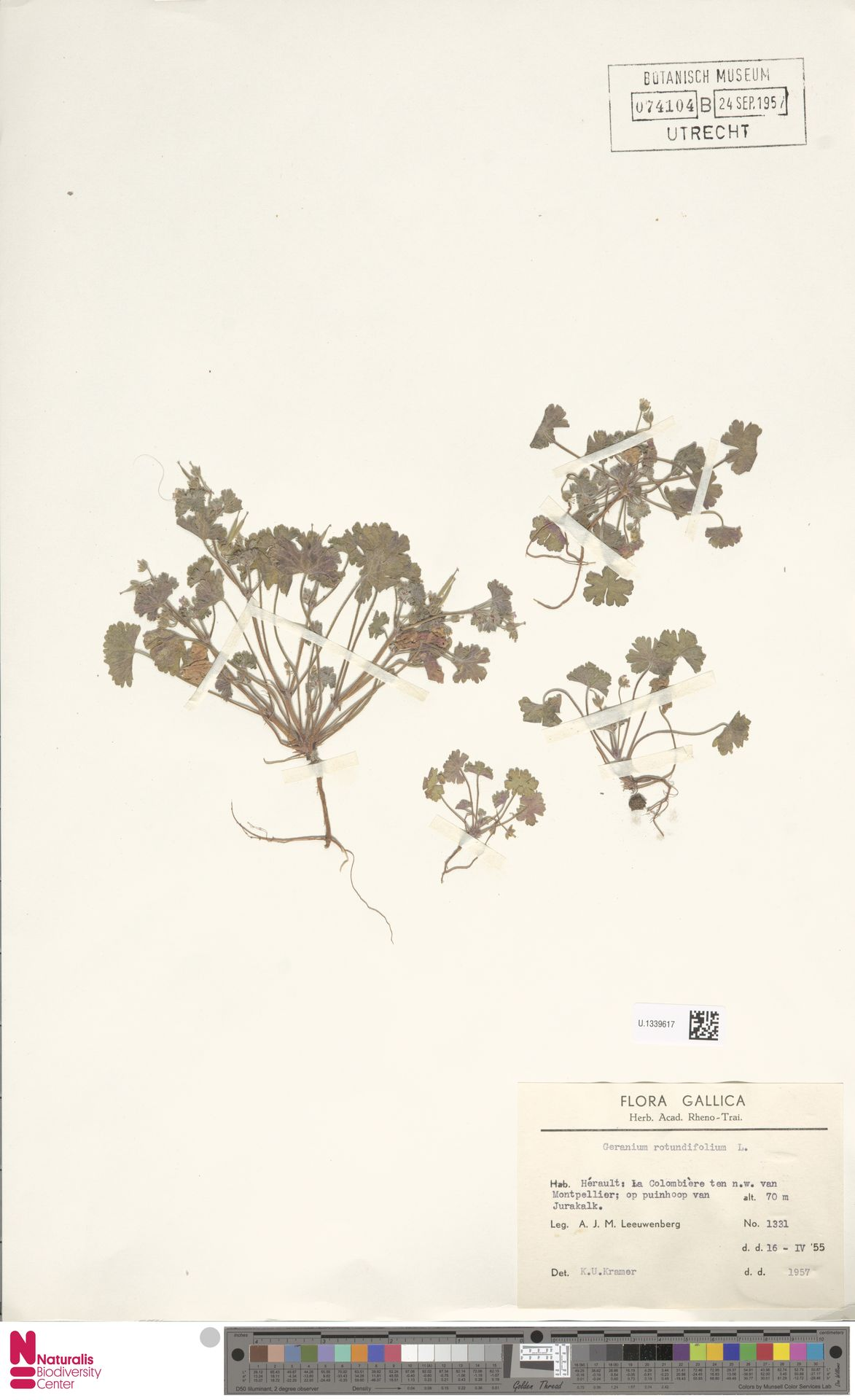 U.1339617   Geranium rotundifolium L.