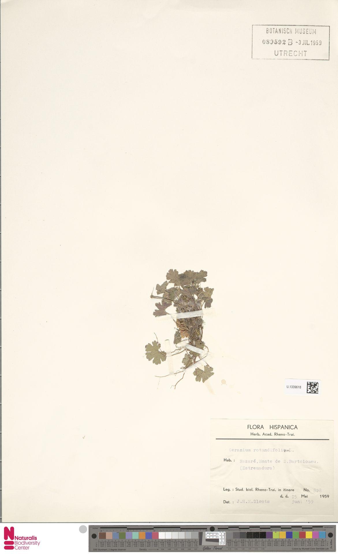 U.1339618 | Geranium rotundifolium L.