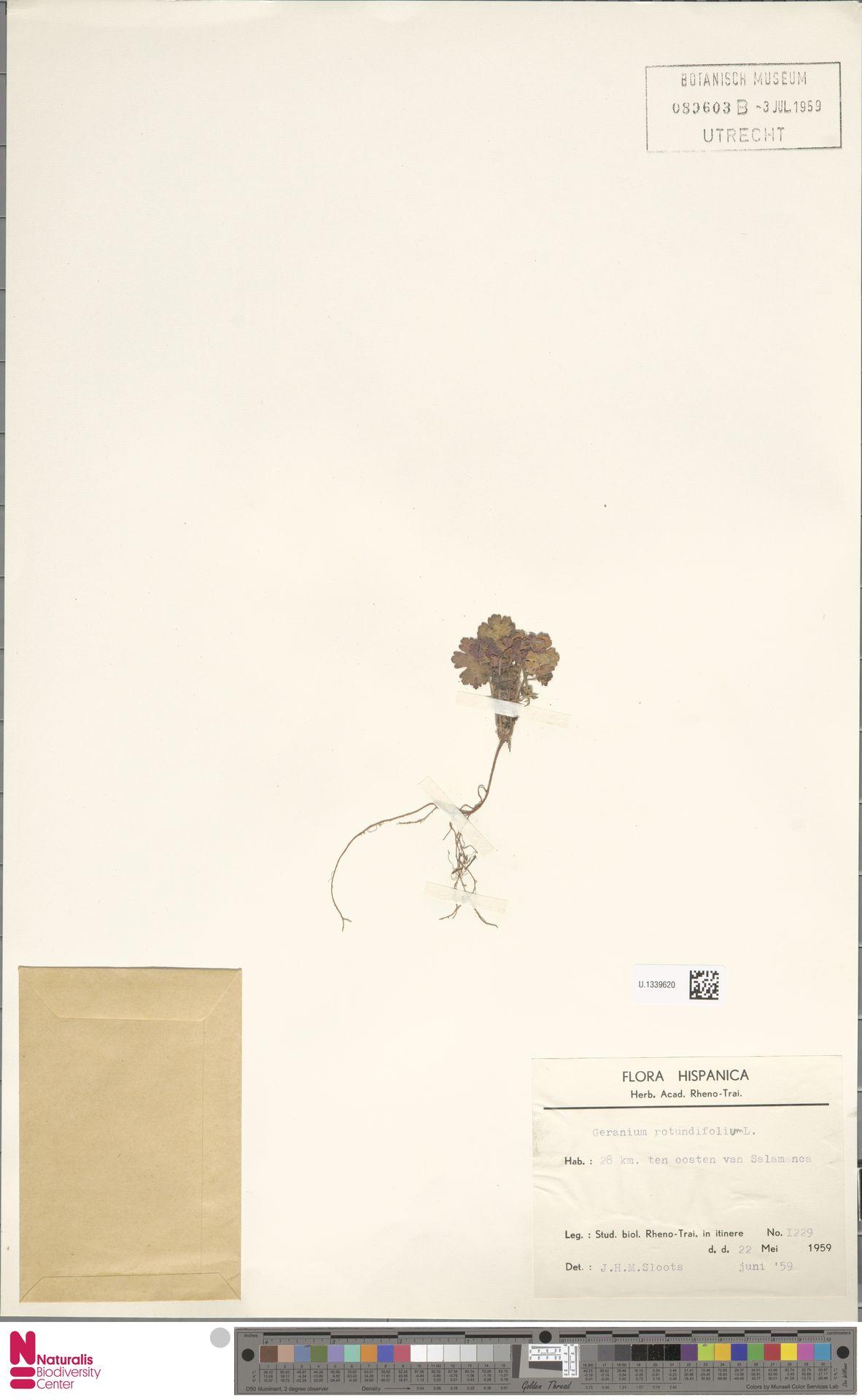 U.1339620 | Geranium rotundifolium L.