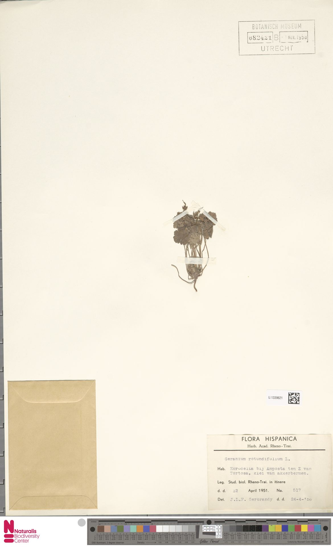 U.1339621   Geranium rotundifolium L.