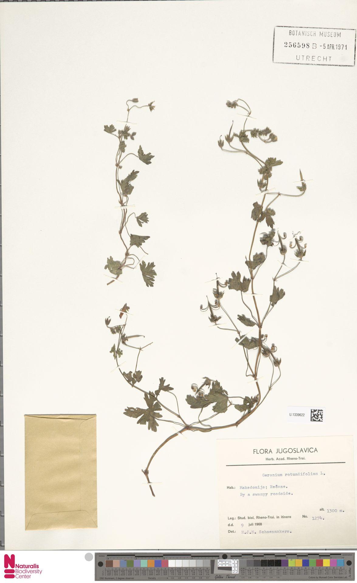 U.1339622   Geranium rotundifolium L.