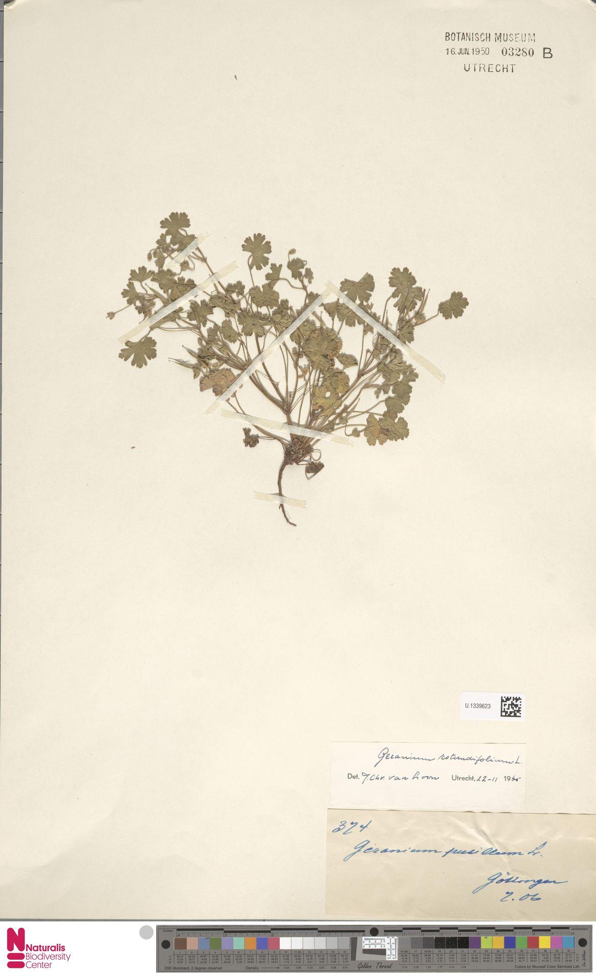 U.1339623 | Geranium rotundifolium L.