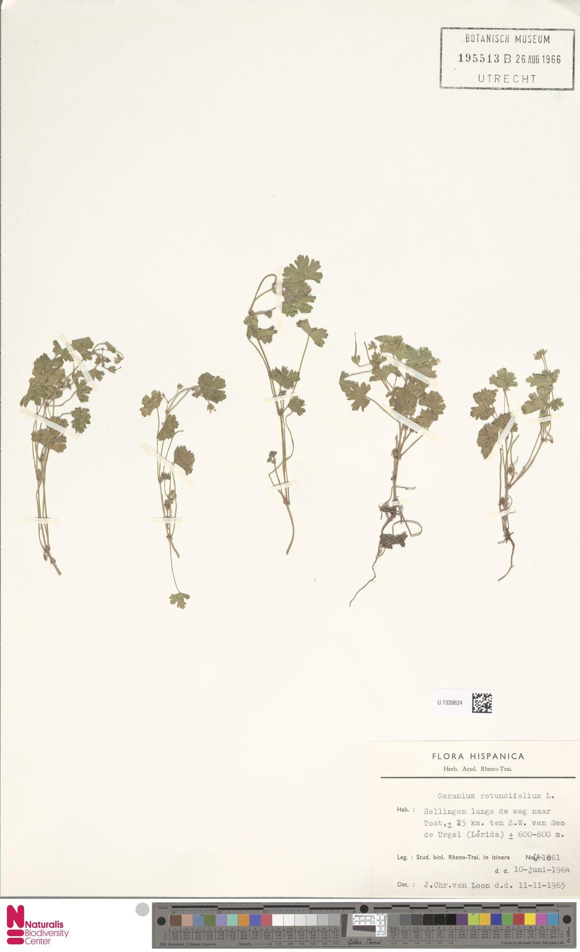 U.1339624 | Geranium rotundifolium L.