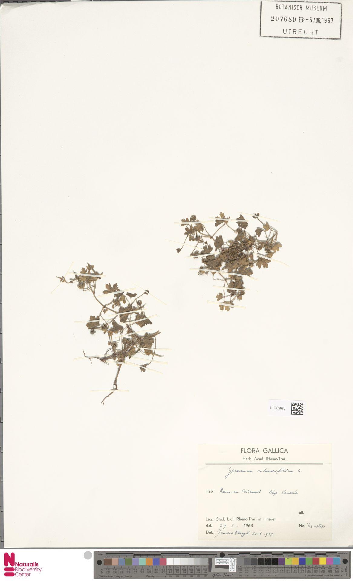 U.1339625 | Geranium rotundifolium L.