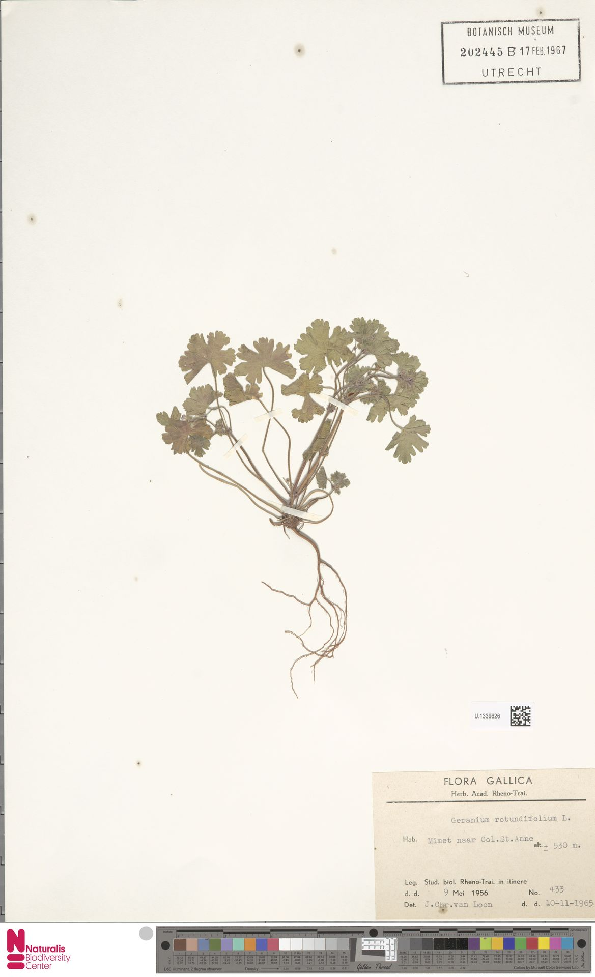 U.1339626   Geranium rotundifolium L.