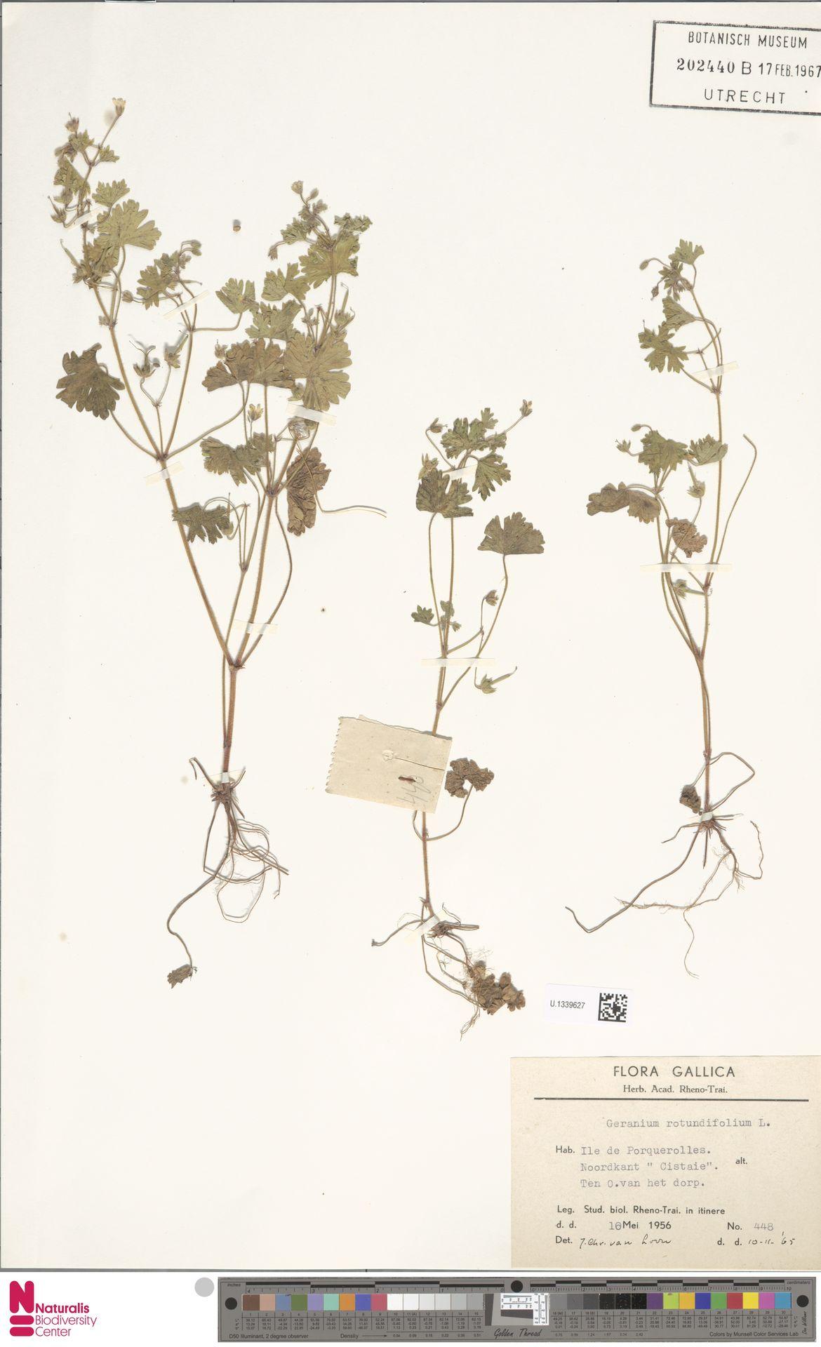U.1339627 | Geranium rotundifolium L.
