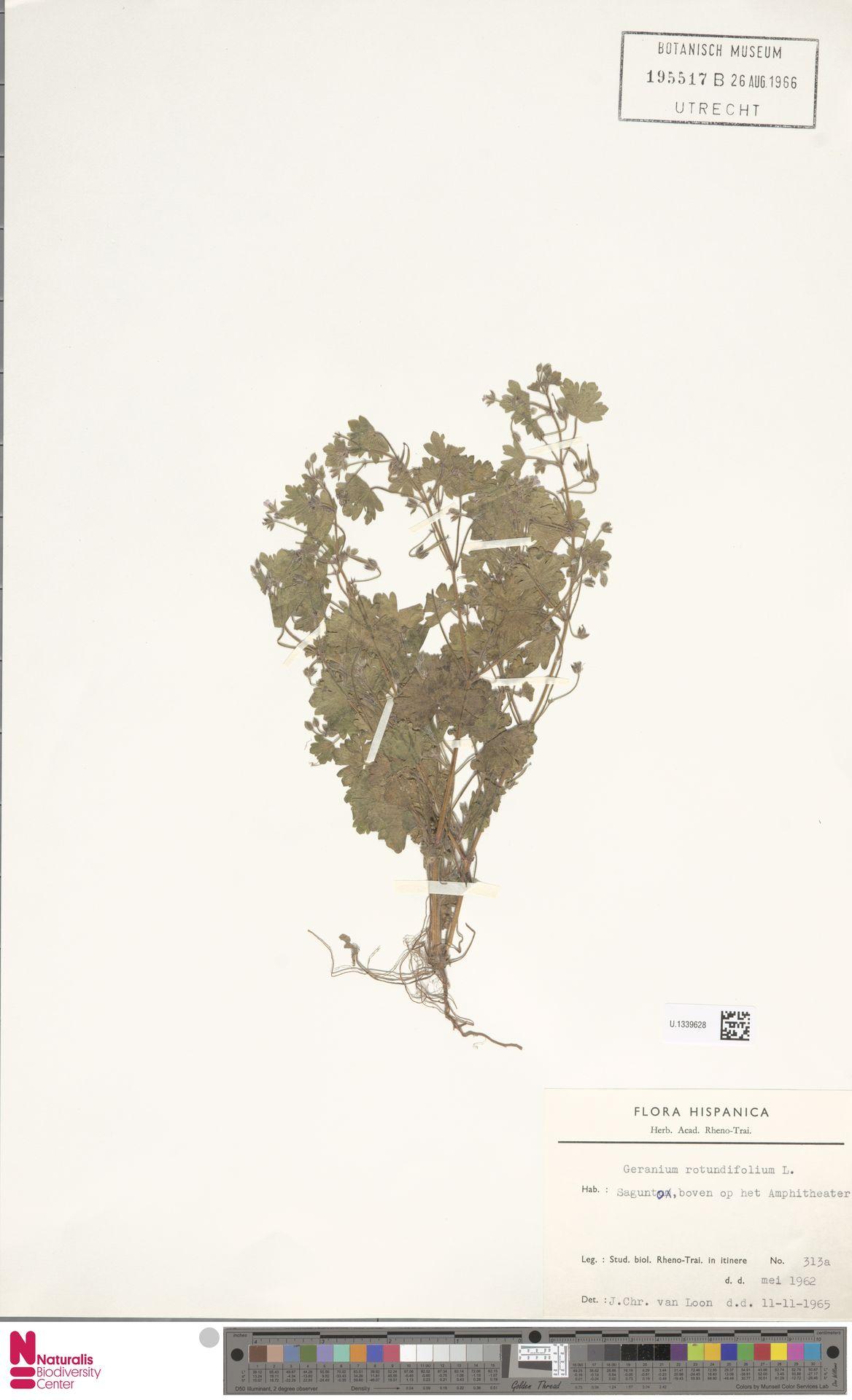 U.1339628 | Geranium rotundifolium L.