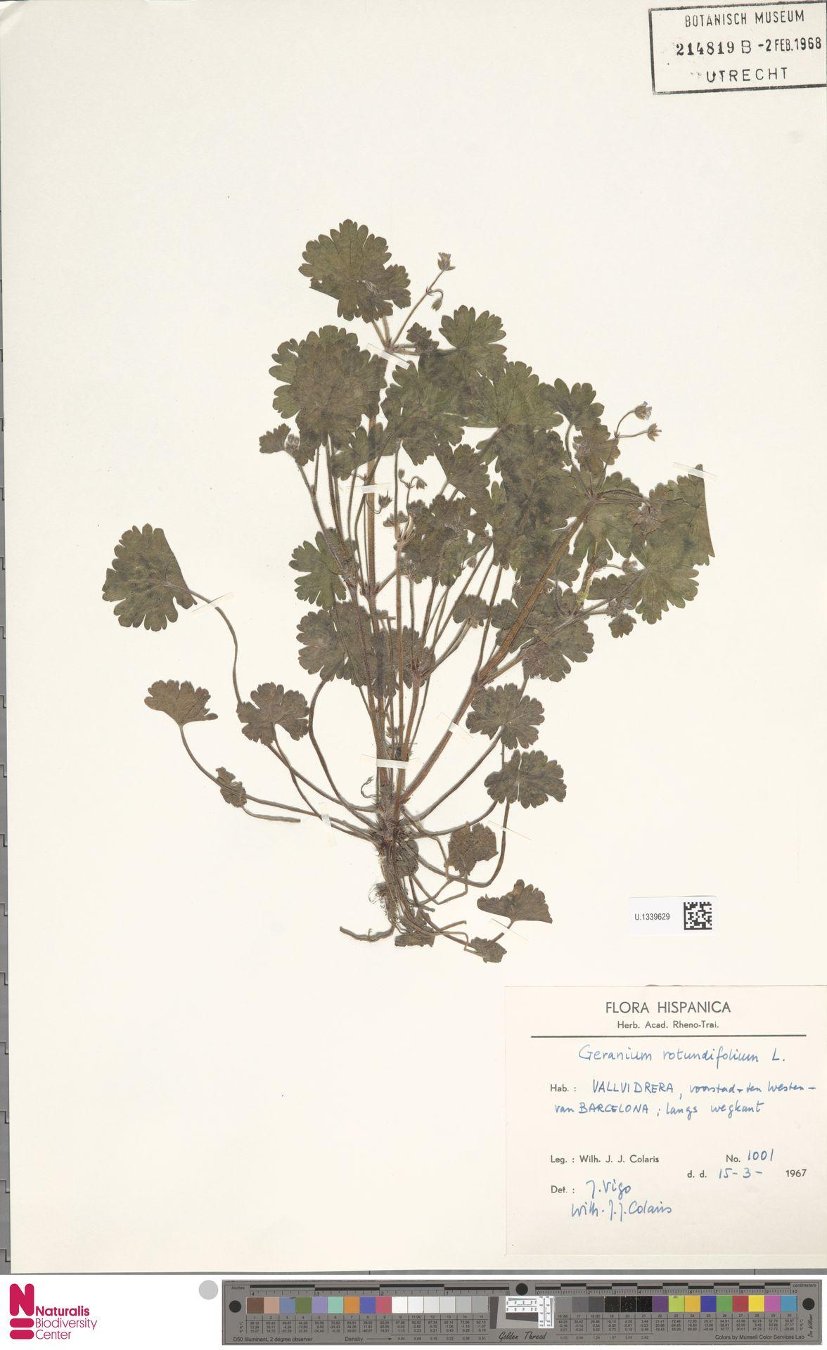 U.1339629 | Geranium rotundifolium L.
