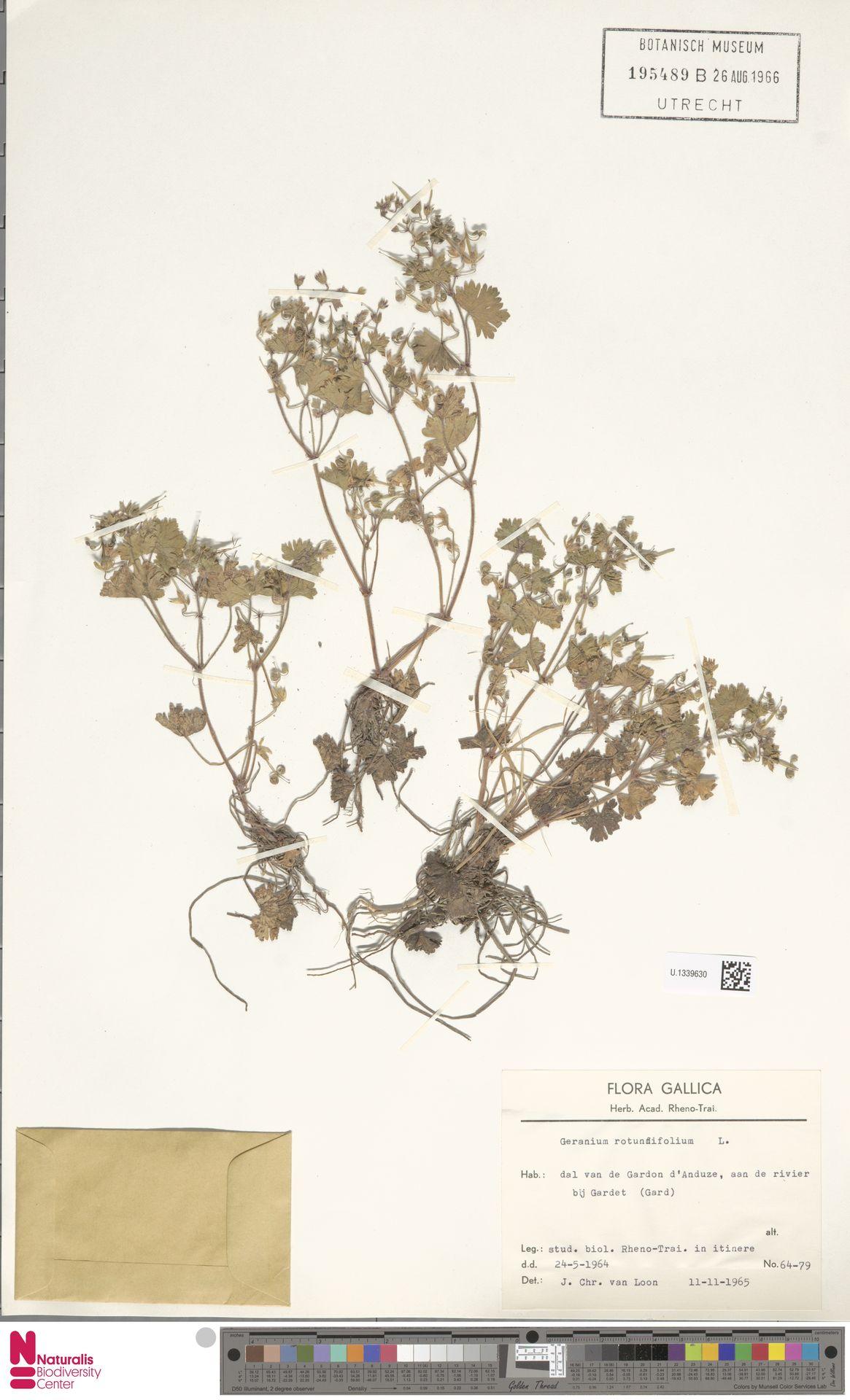 U.1339630 | Geranium rotundifolium L.