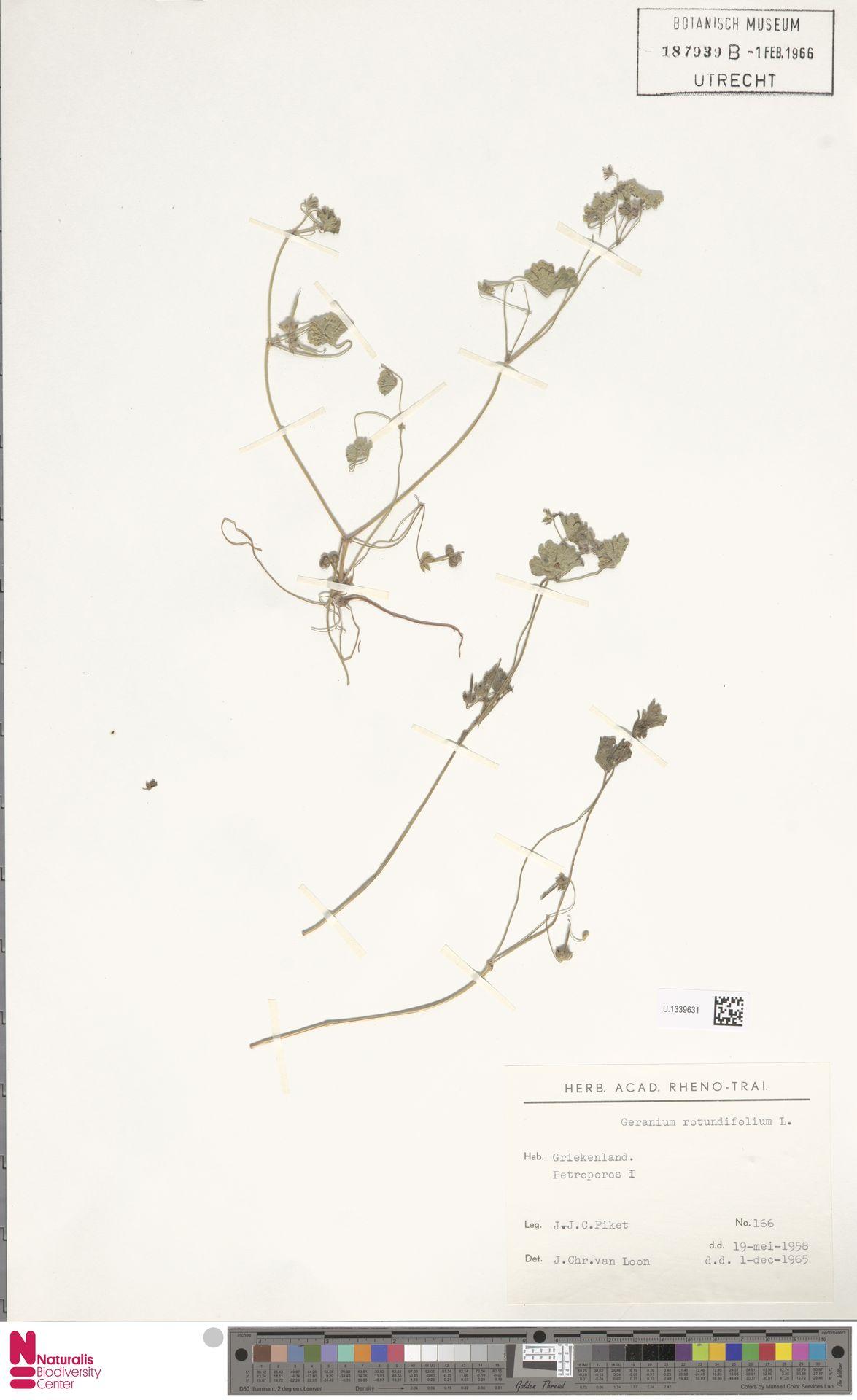 U.1339631 | Geranium rotundifolium L.