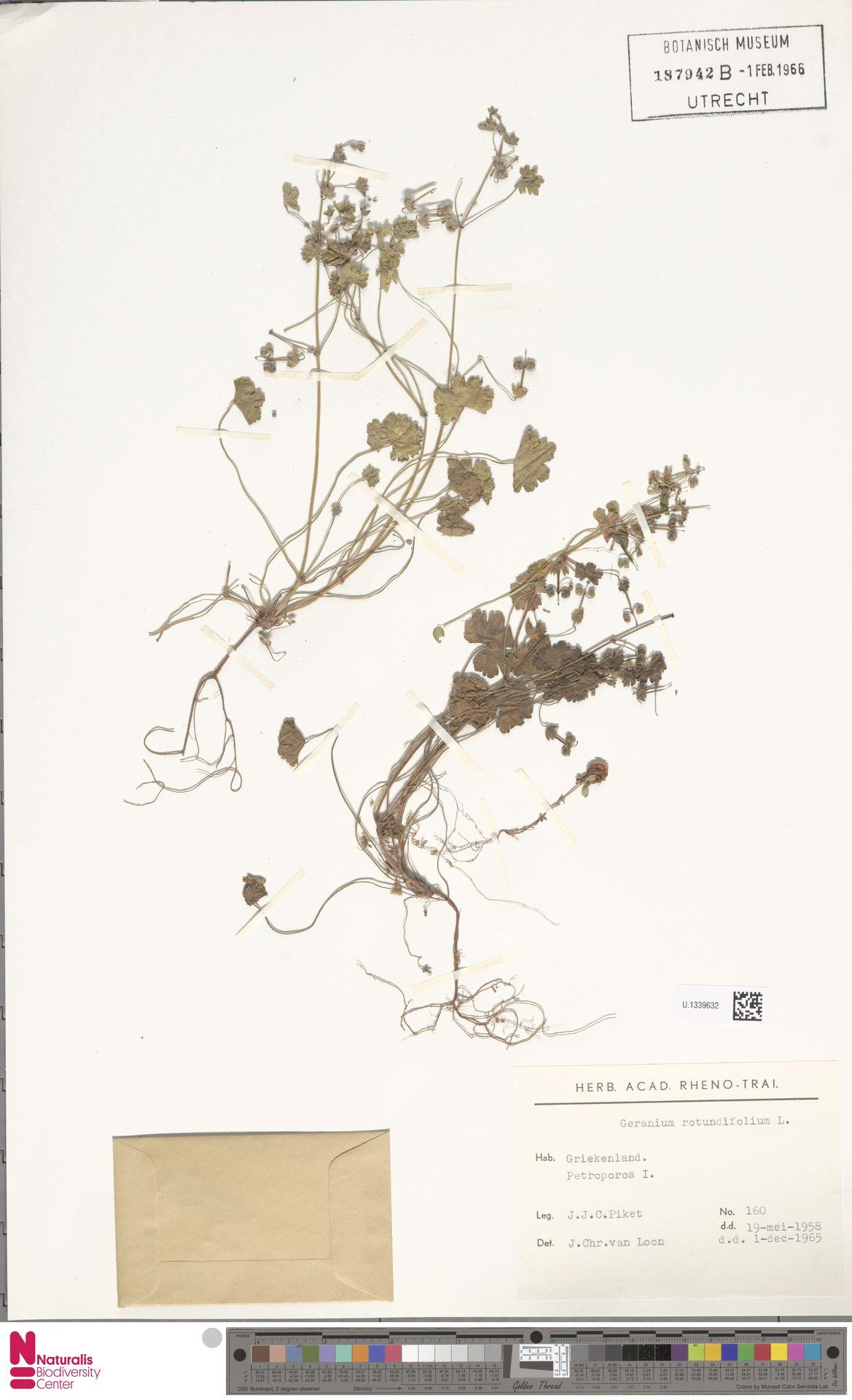 U.1339632   Geranium rotundifolium L.