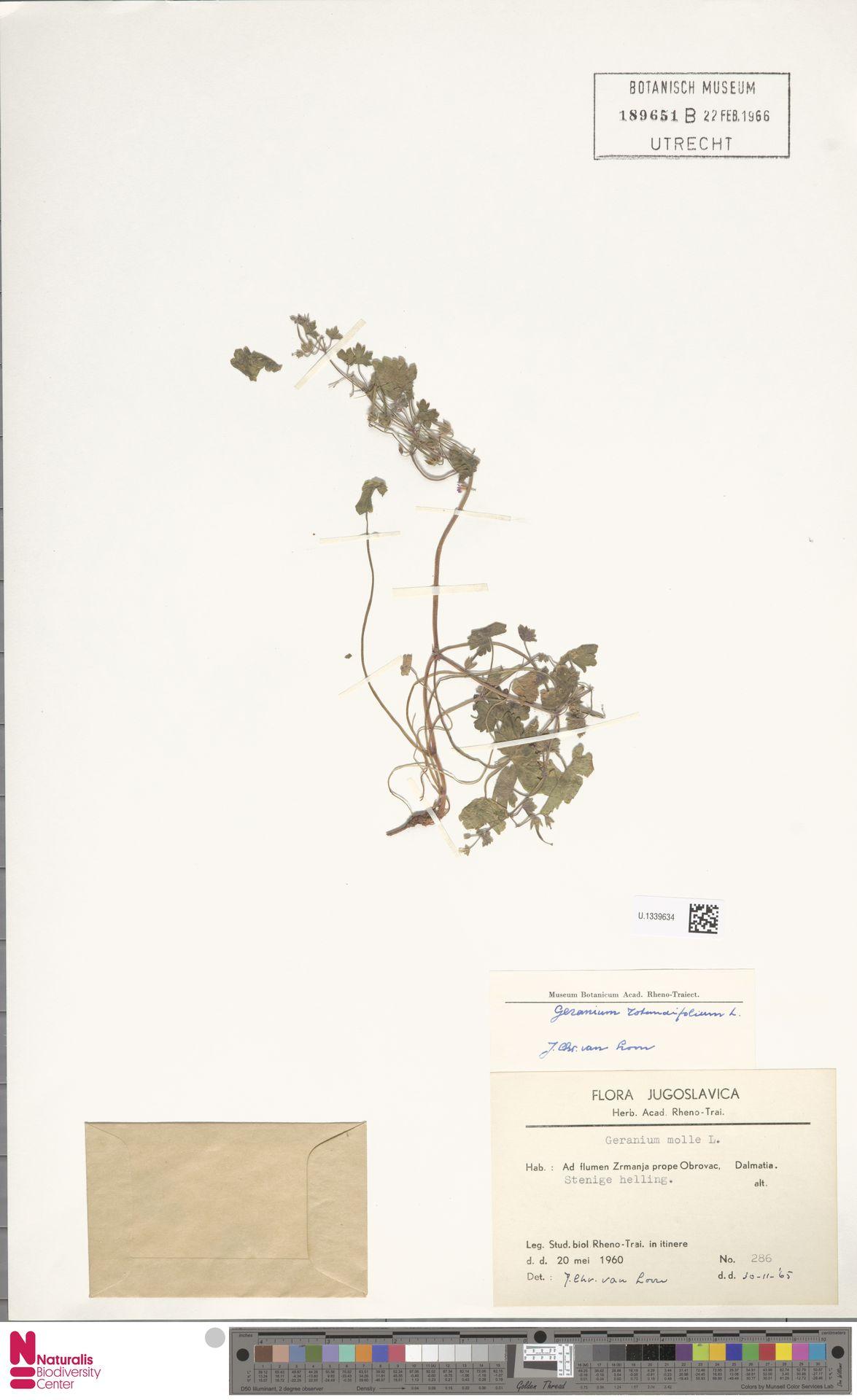 U.1339634   Geranium rotundifolium L.