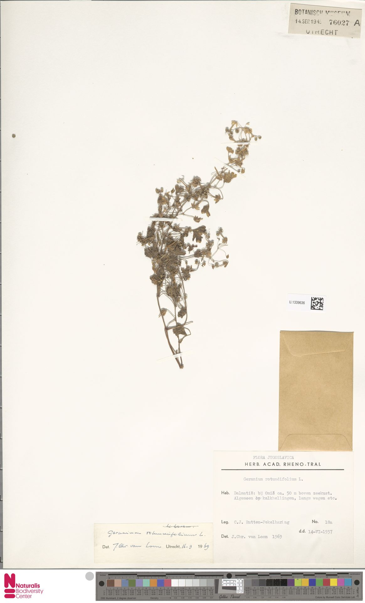 U.1339636 | Geranium rotundifolium L.