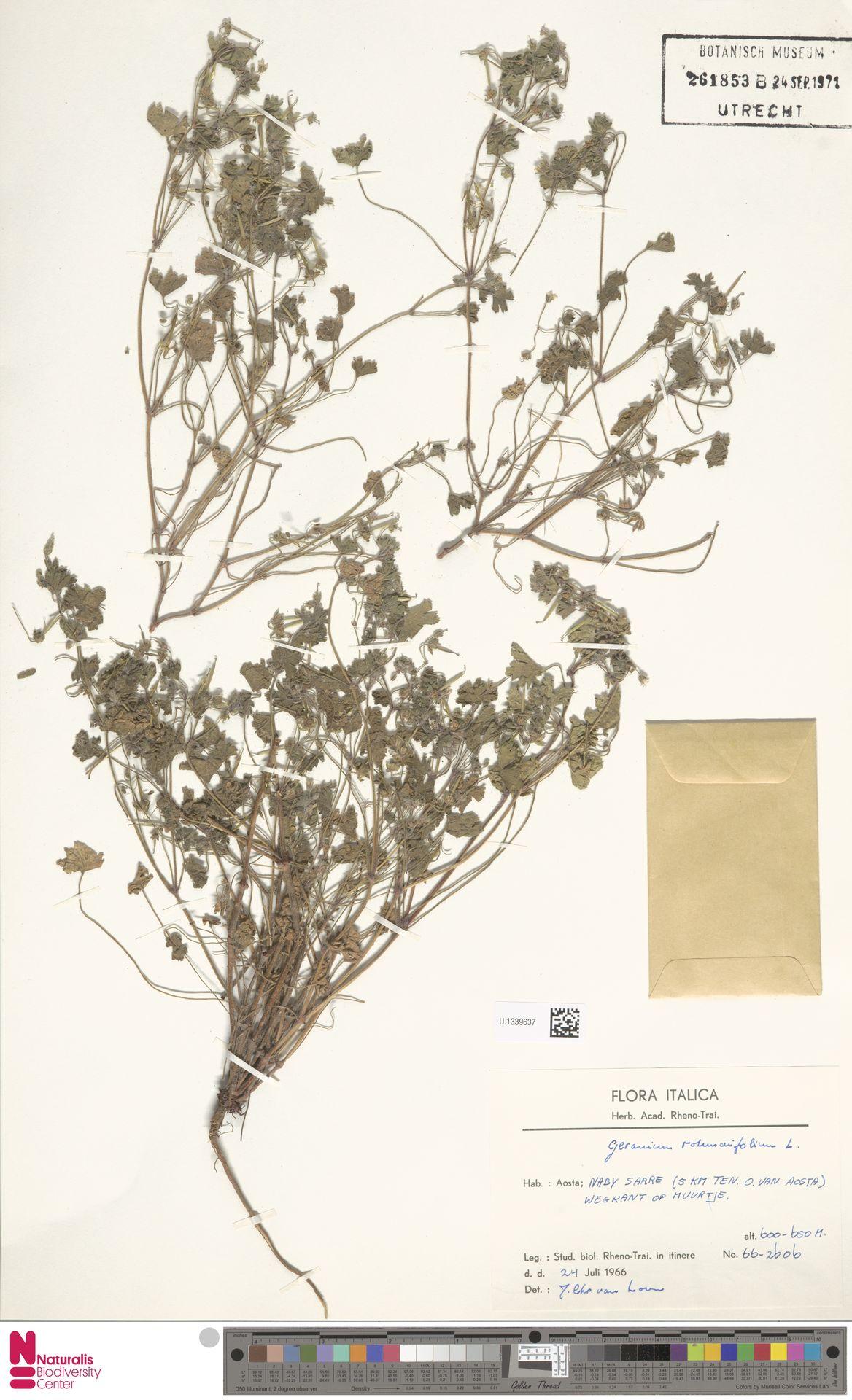U.1339637 | Geranium rotundifolium L.