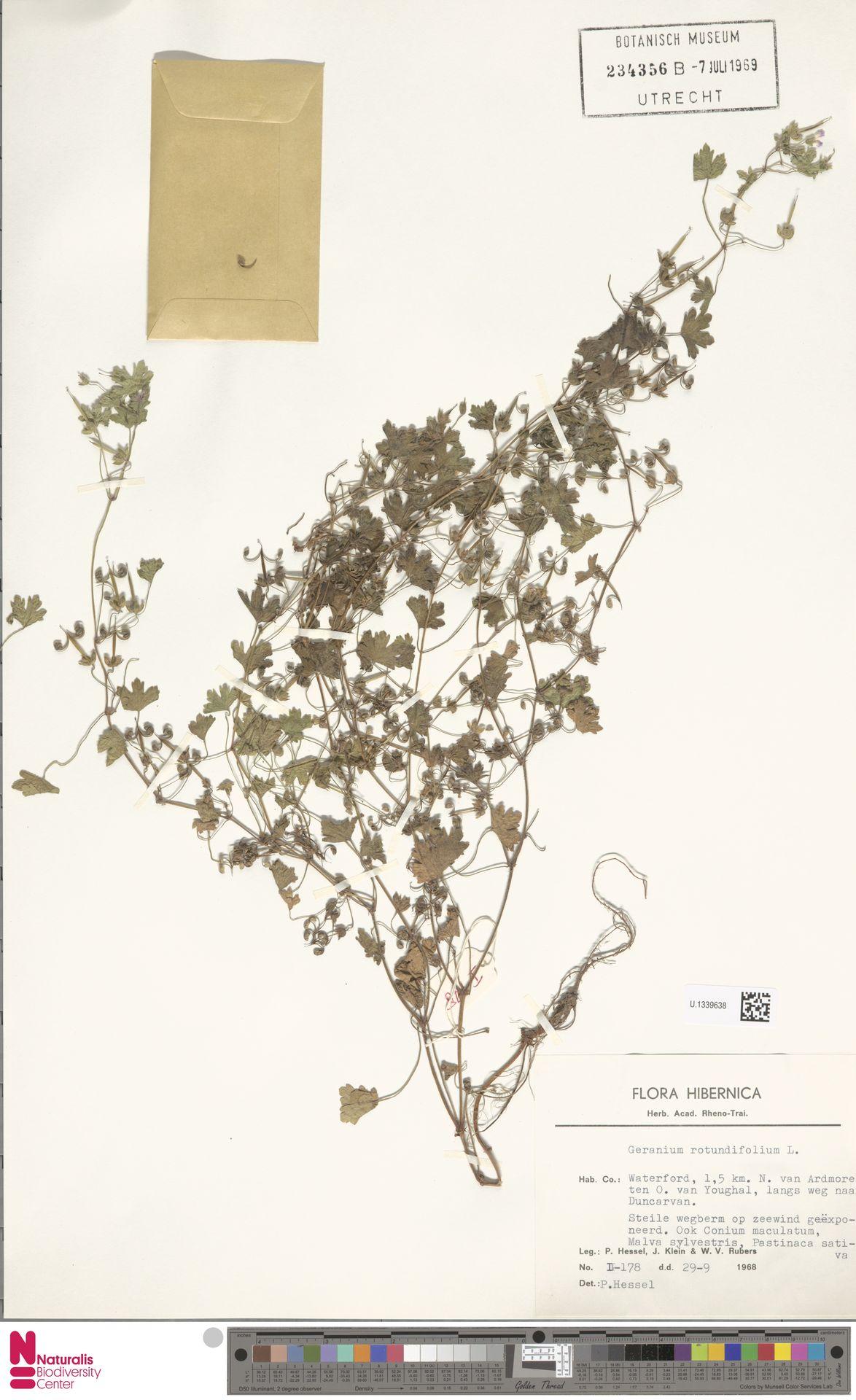 U.1339638 | Geranium rotundifolium L.
