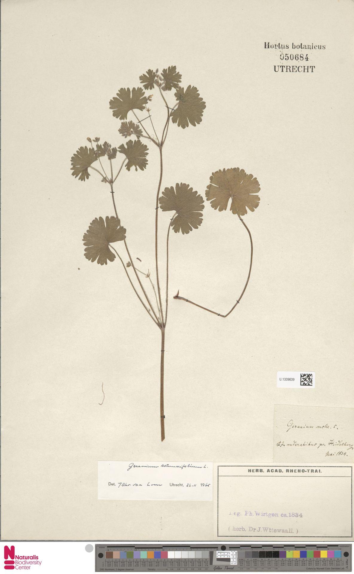 U.1339639 | Geranium rotundifolium L.