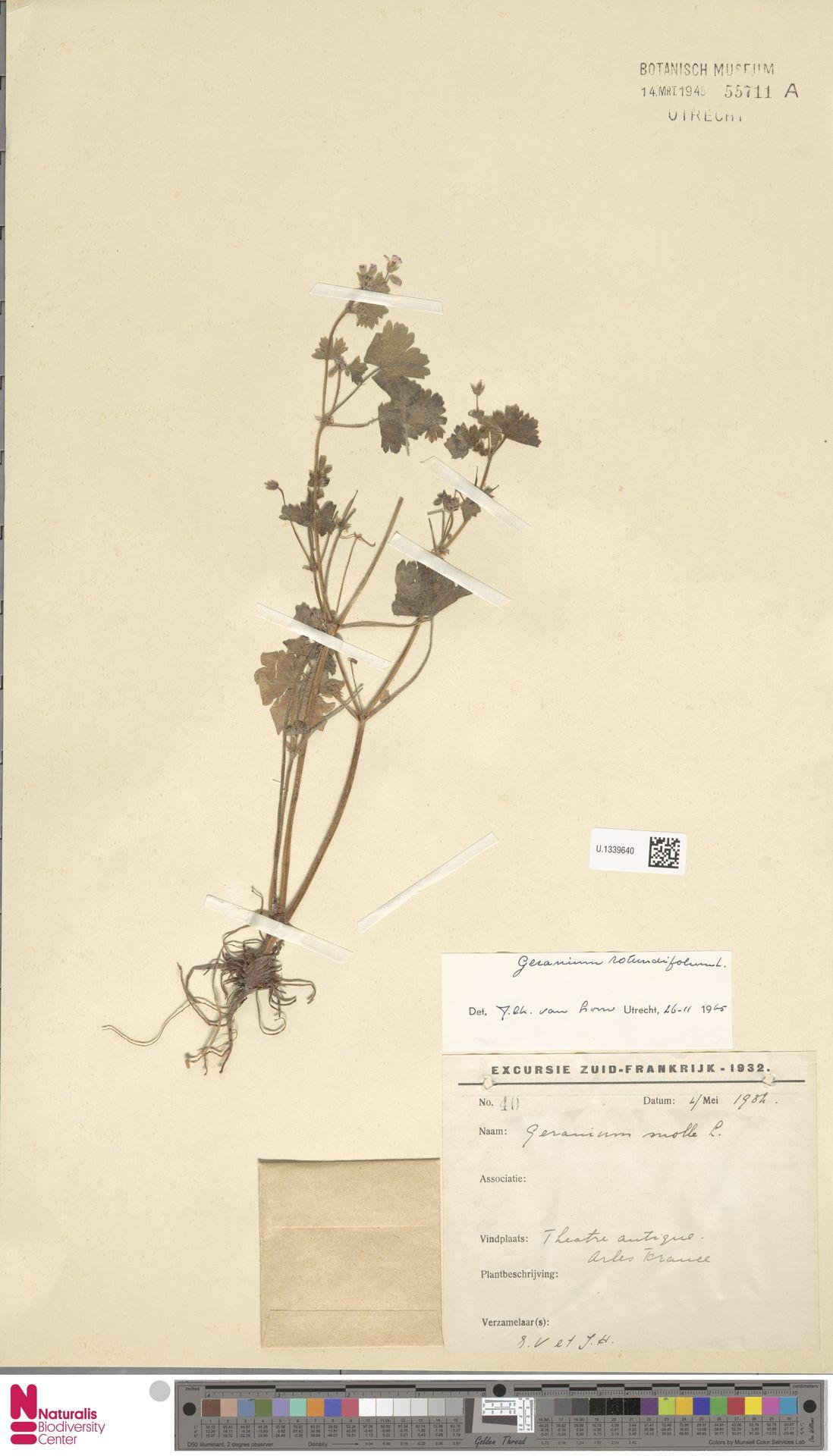 U.1339640 | Geranium rotundifolium L.