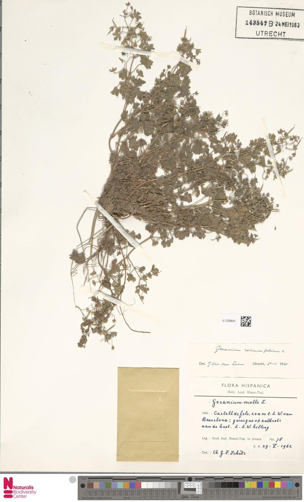 U.1339641   Geranium rotundifolium L.