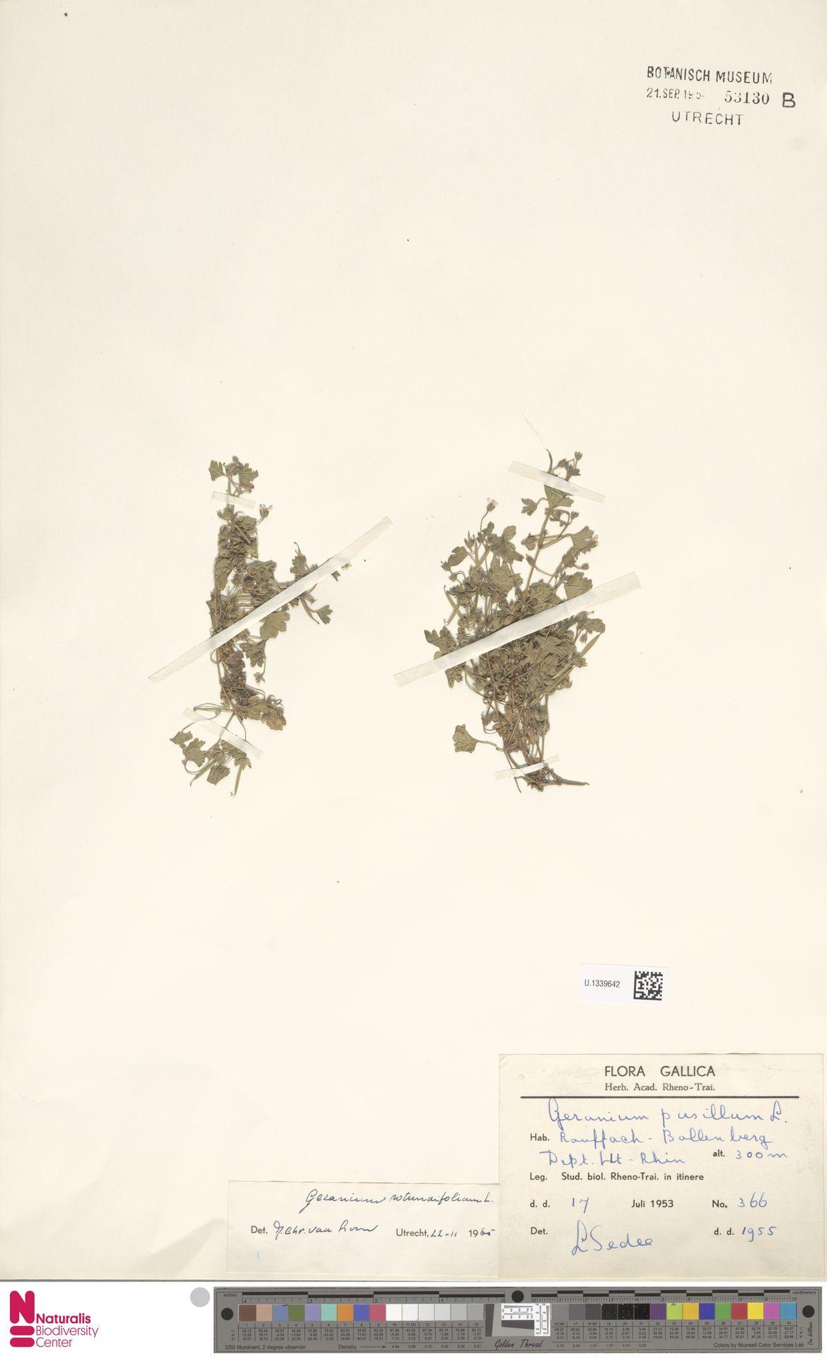 U.1339642   Geranium rotundifolium L.