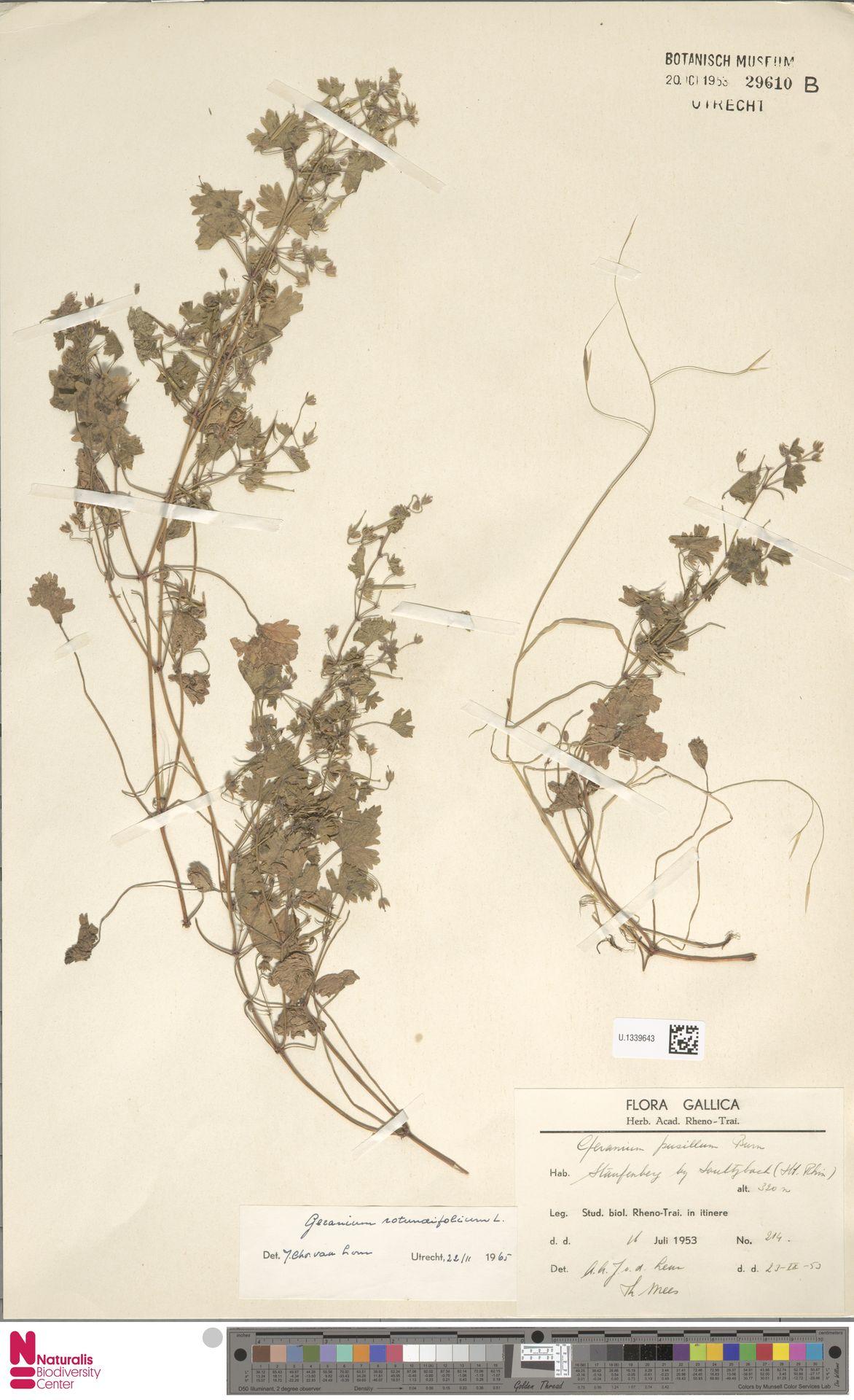 U.1339643 | Geranium rotundifolium L.