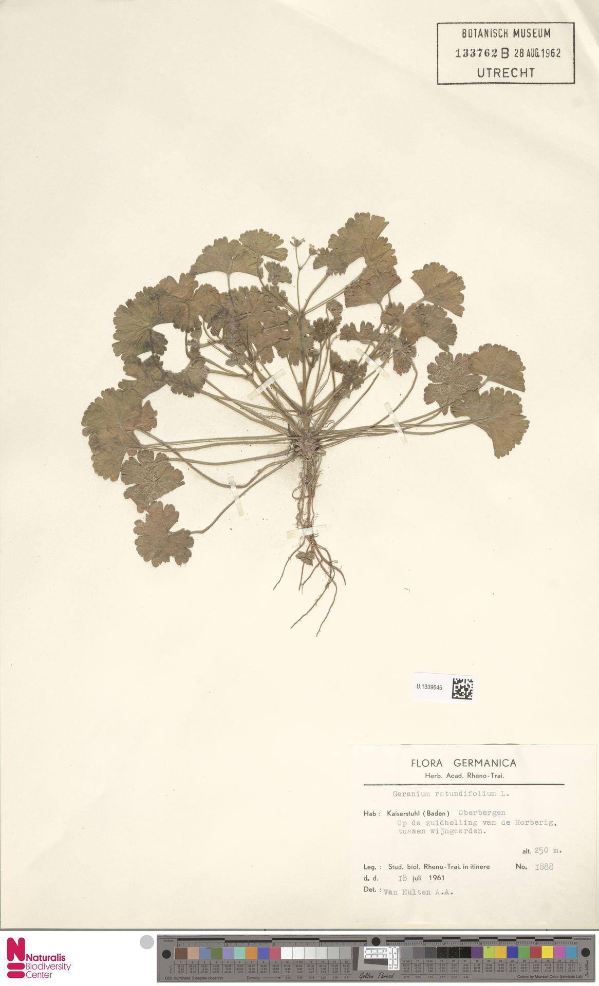 U.1339645   Geranium rotundifolium L.