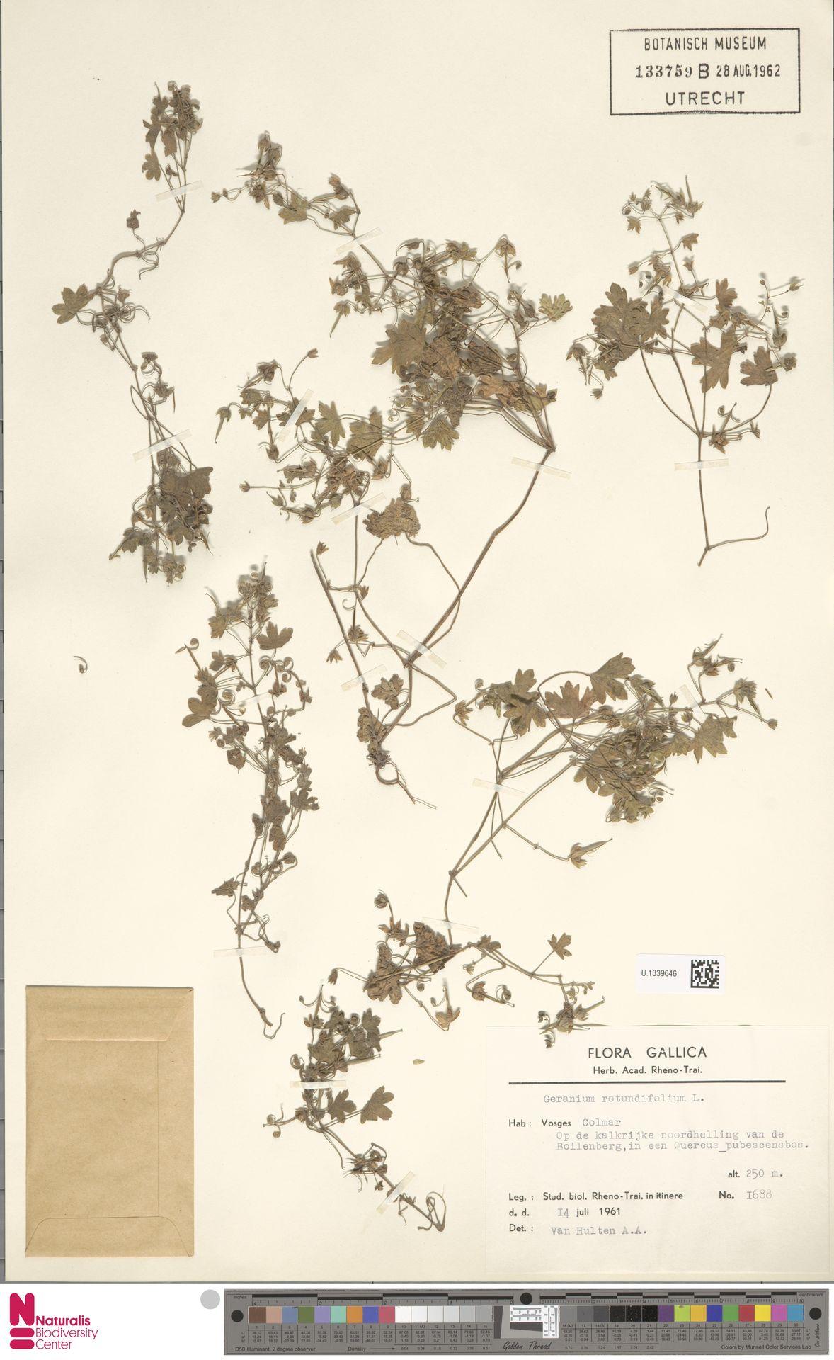 U.1339646 | Geranium rotundifolium L.
