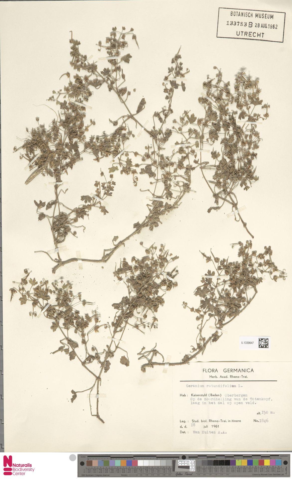 U.1339647 | Geranium rotundifolium L.