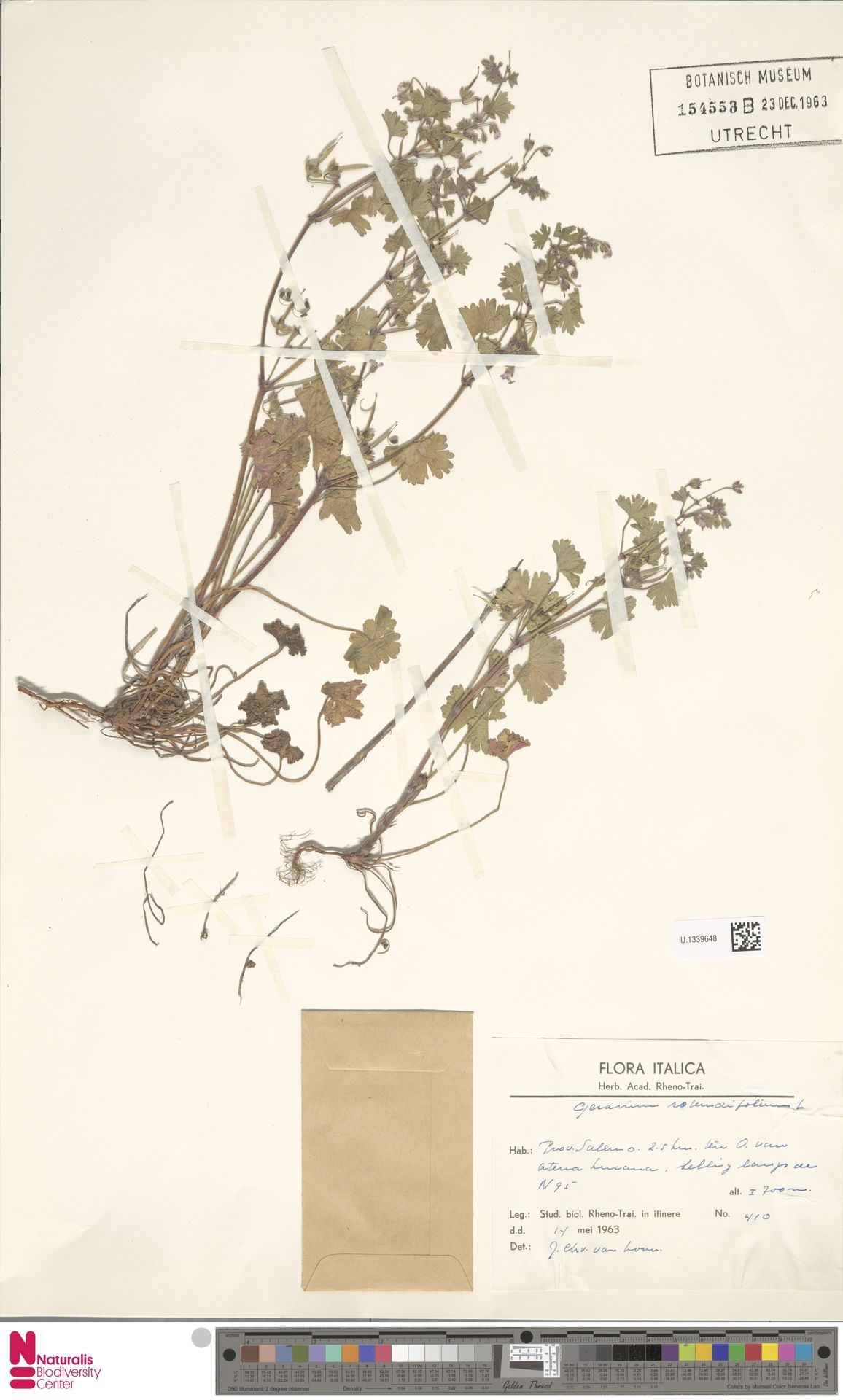 U.1339648   Geranium rotundifolium L.