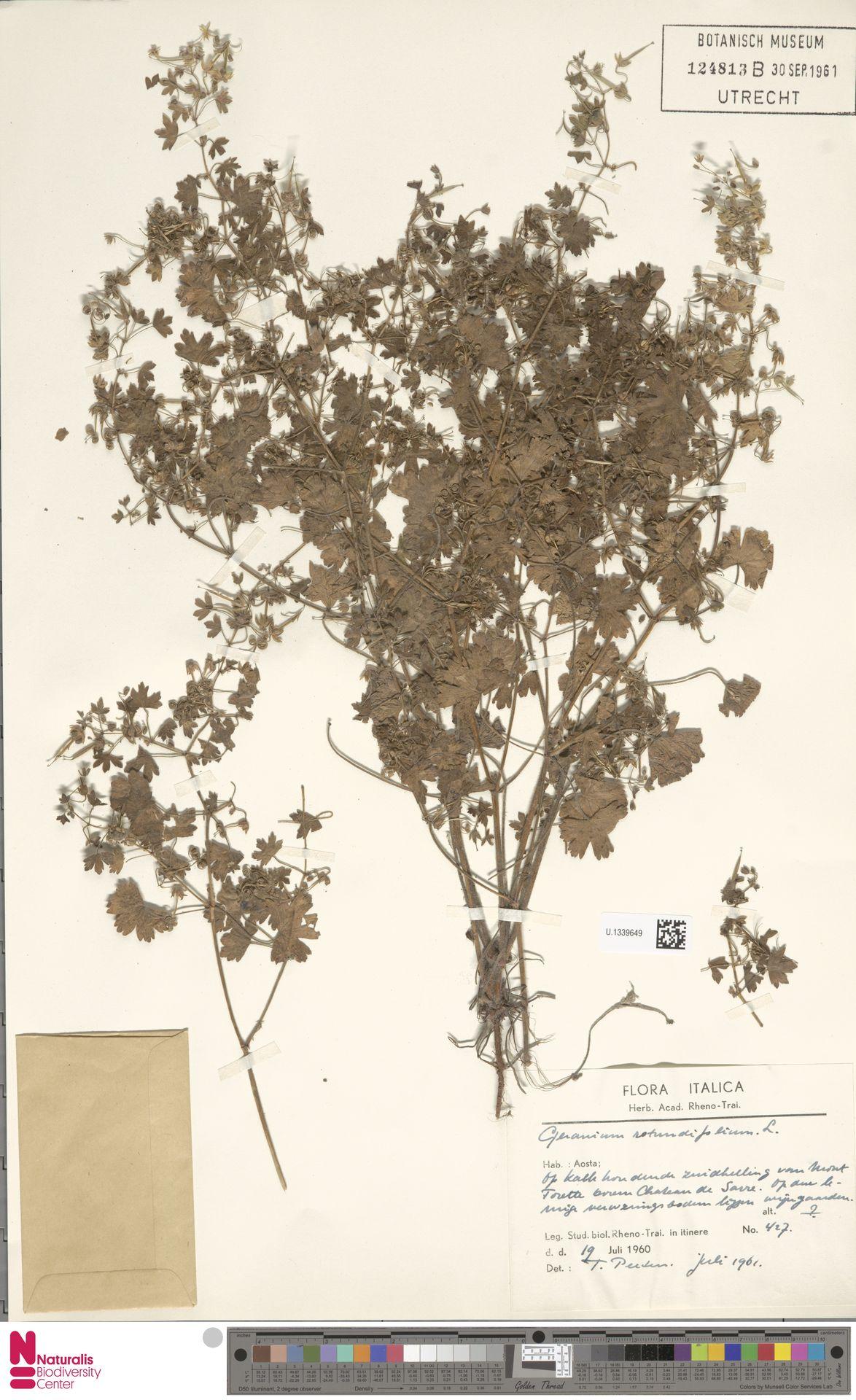 U.1339649 | Geranium rotundifolium L.