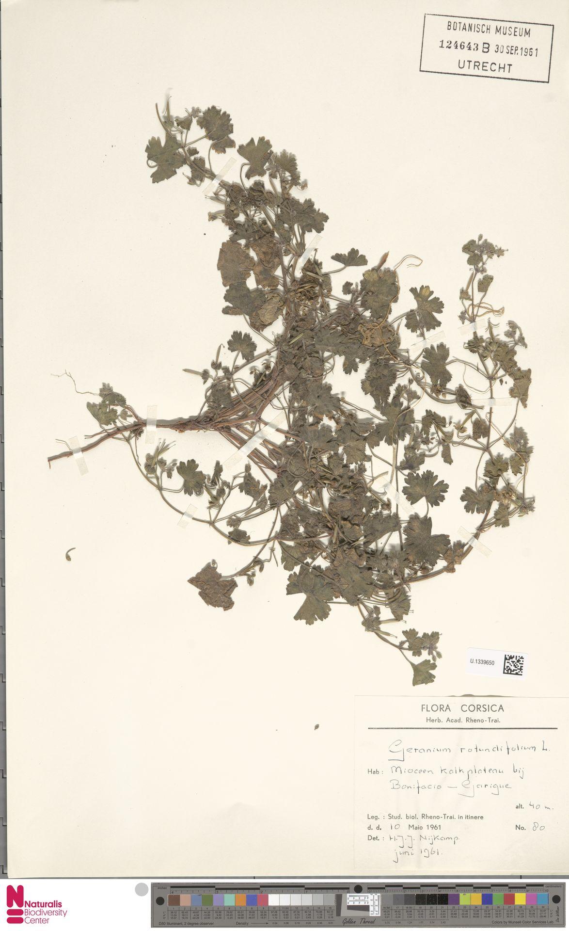 U.1339650 | Geranium rotundifolium L.