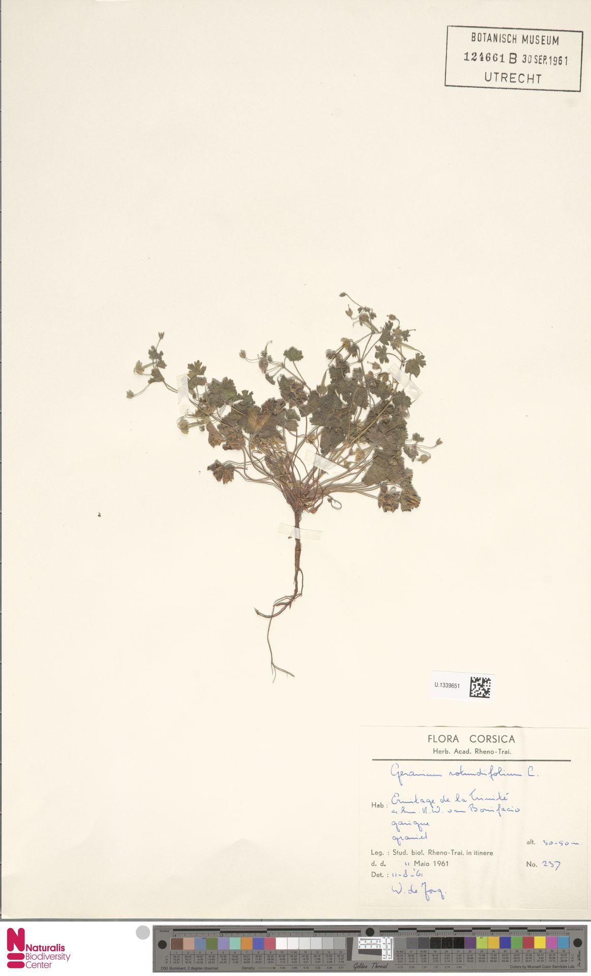 U.1339651 | Geranium rotundifolium L.