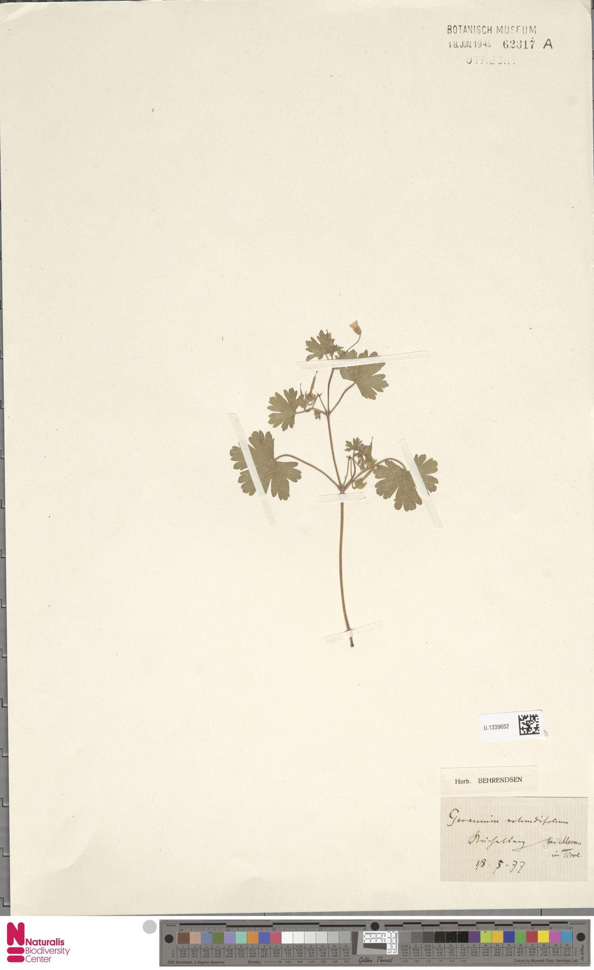U.1339652 | Geranium rotundifolium L.