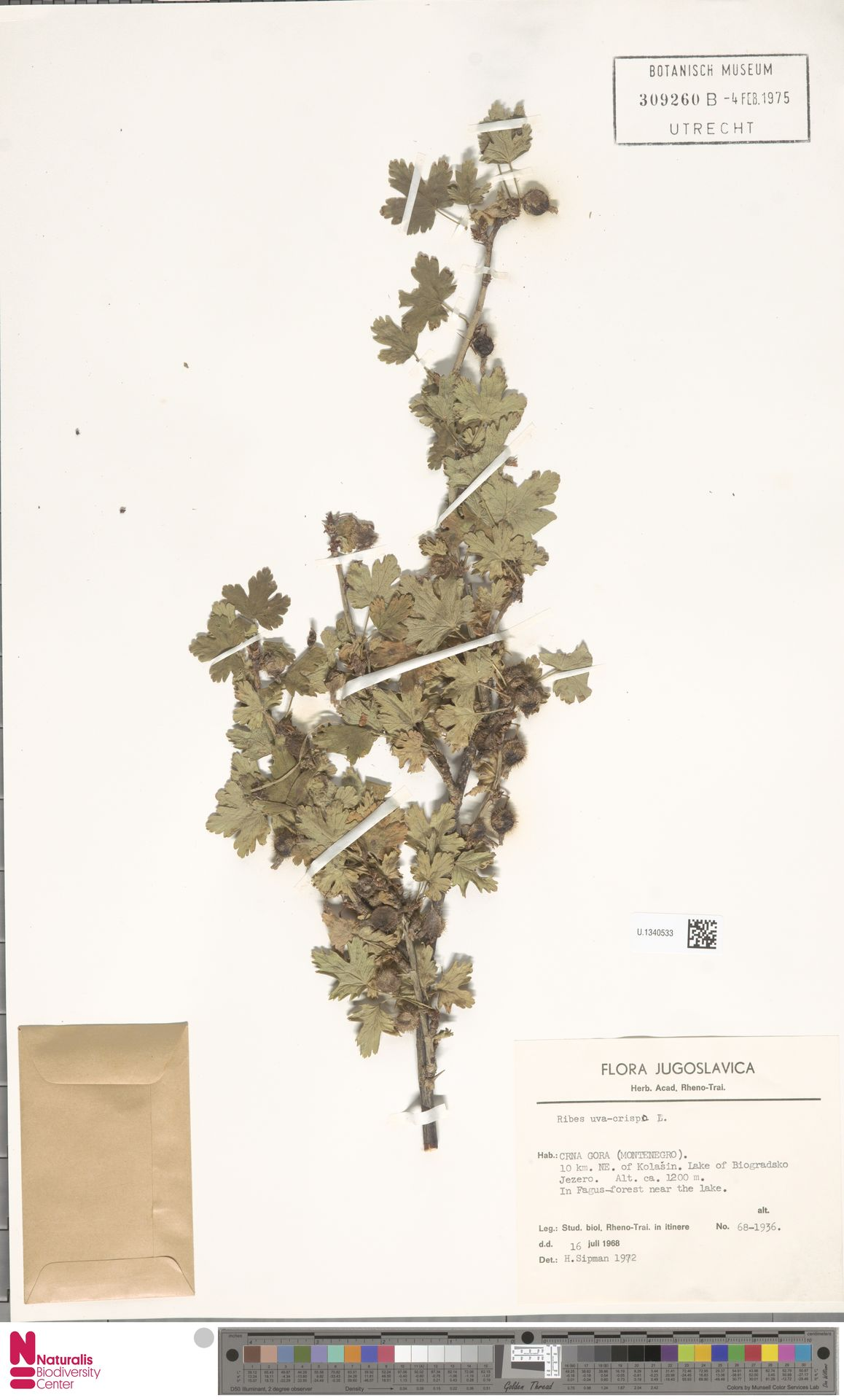 U.1340533 | Ribes uva-crispa L.