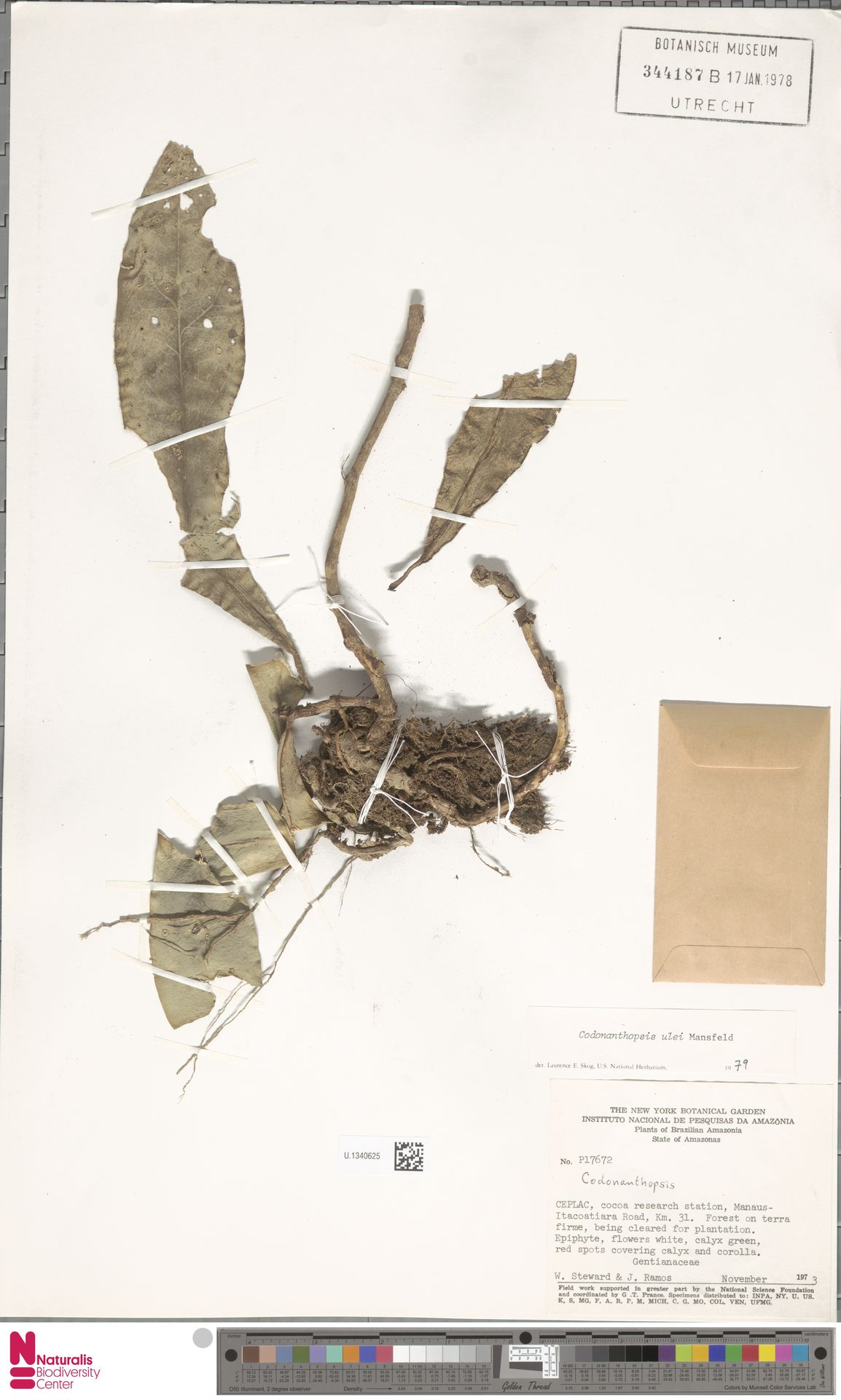 U.1340625   Codonanthopsis ulei Mansf.
