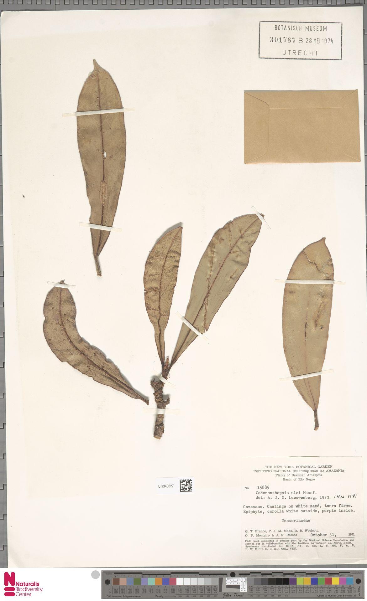 U.1340627 | Codonanthopsis ulei Mansf.