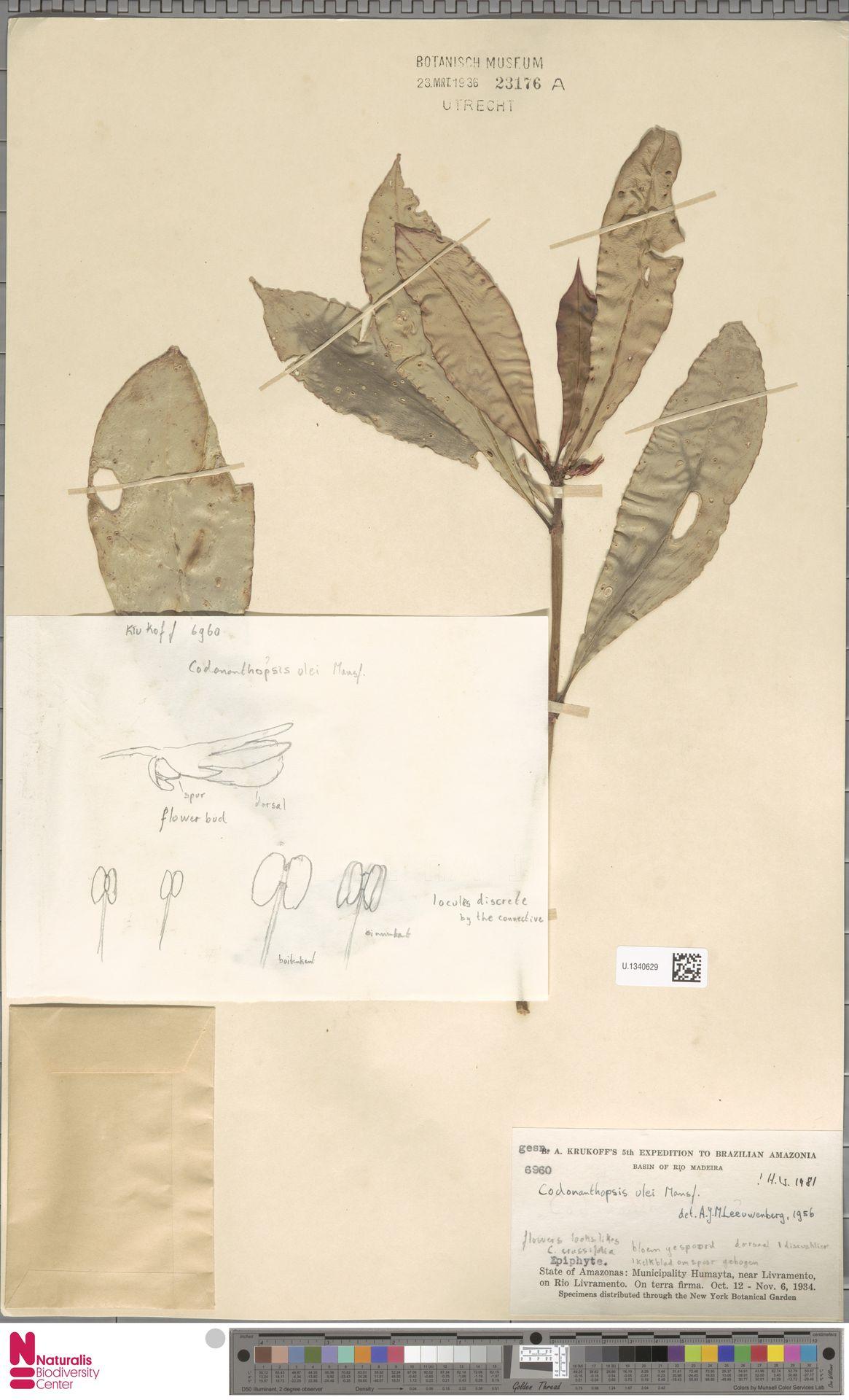 U.1340629 | Codonanthopsis ulei Mansf.